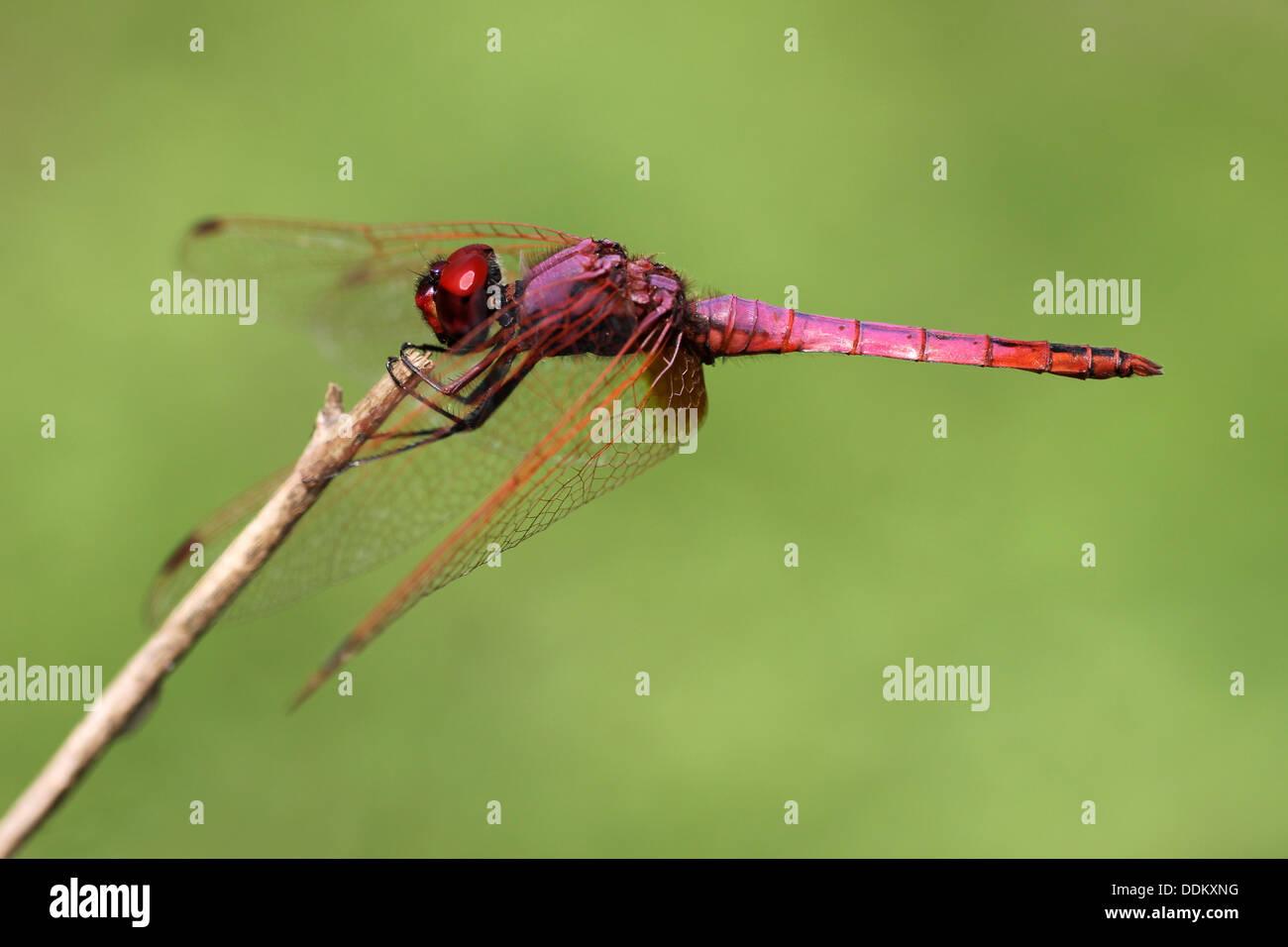 Male Violet Dropwing Trithemis annulata - Stock Image