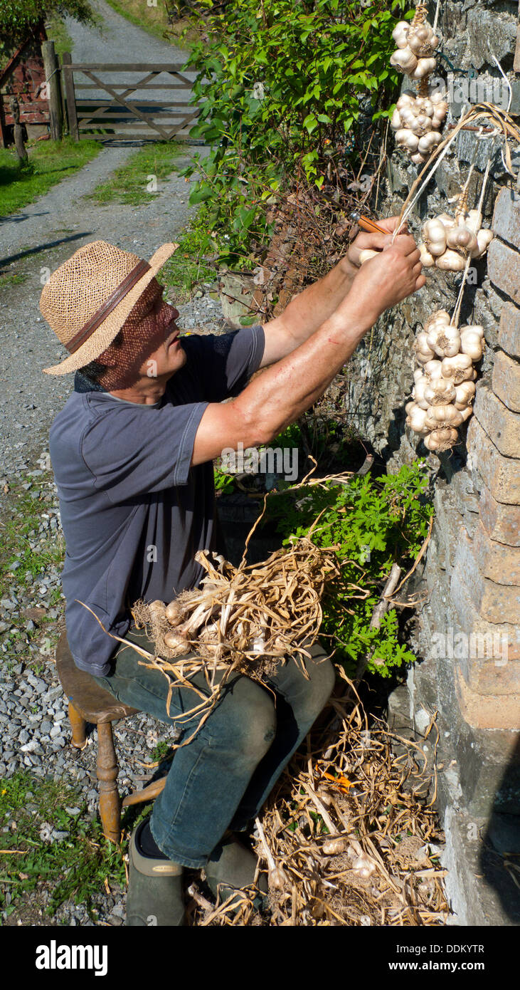 A gardener plaiting garlic grown in his organic garden in Carmarthenshire in rural Wales summer 2013  KATHY DEWITT - Stock Image