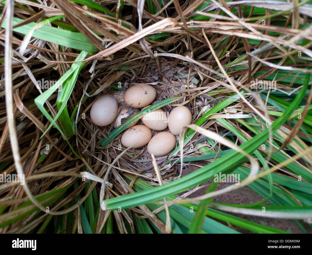 A clutch of eggs laid by a free ranging chicken in ornamental grass outside the hen house Carmarthenshire Wales UK  KATHY DEWITT - Stock Image