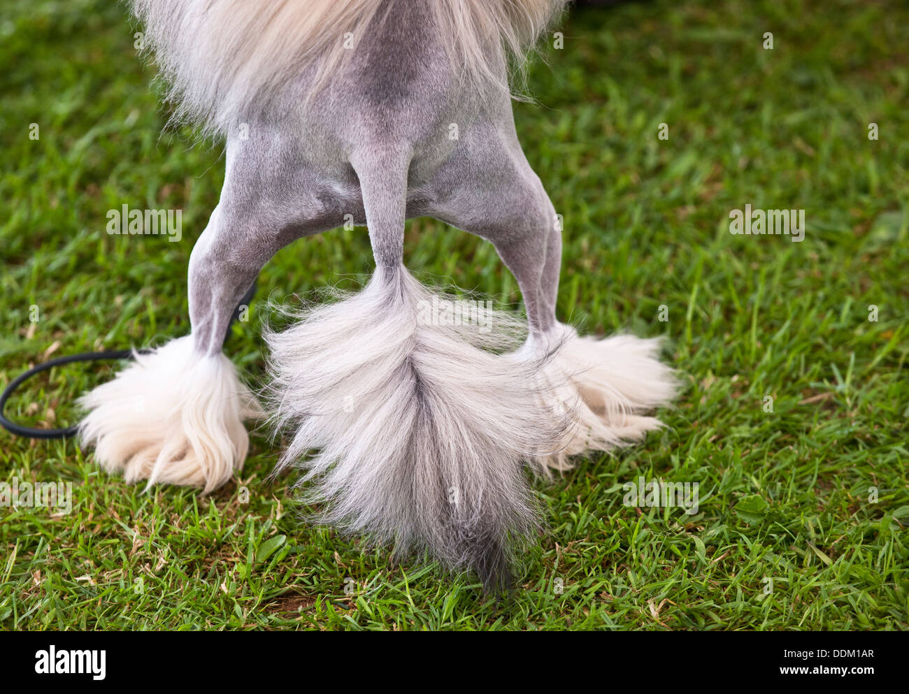 Chinese Crested Dog rear - Stock Image