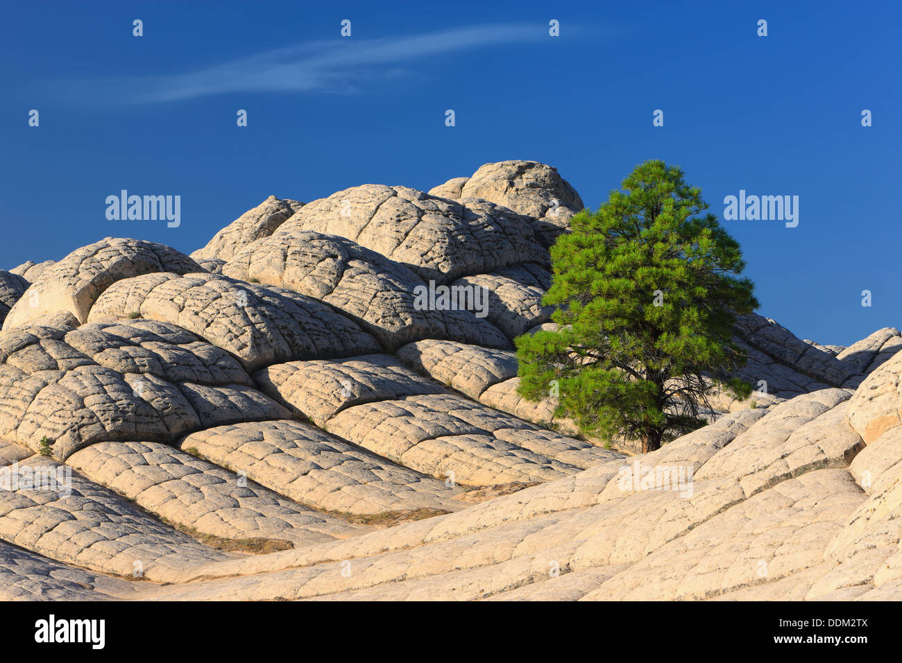 Lonesome tree at the White Pocket, Vermilion Cliffs National Monument - Stock Image