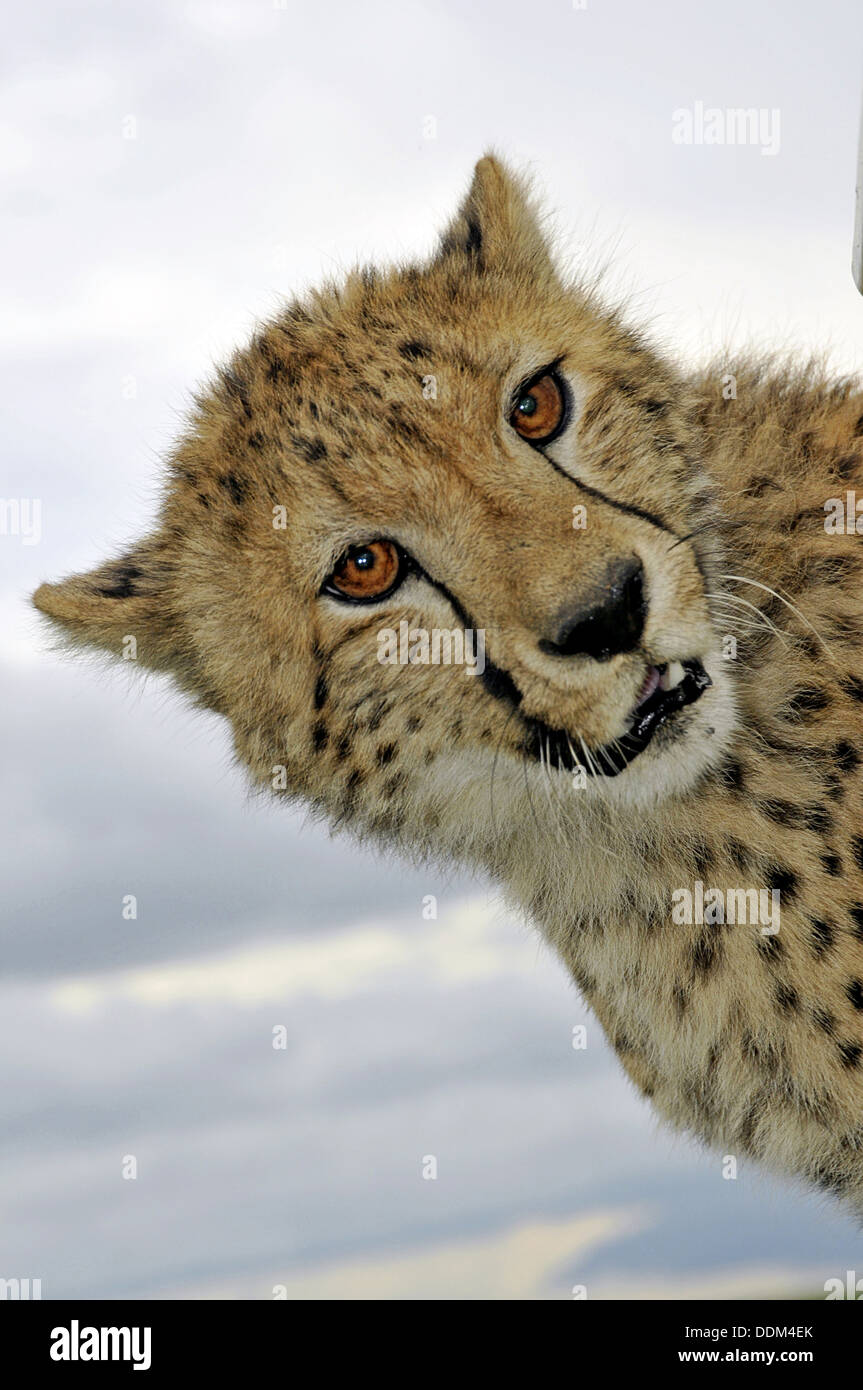 Wild cheetah lept on safari vehicle in Africa Tanzania Collection - Stock Image