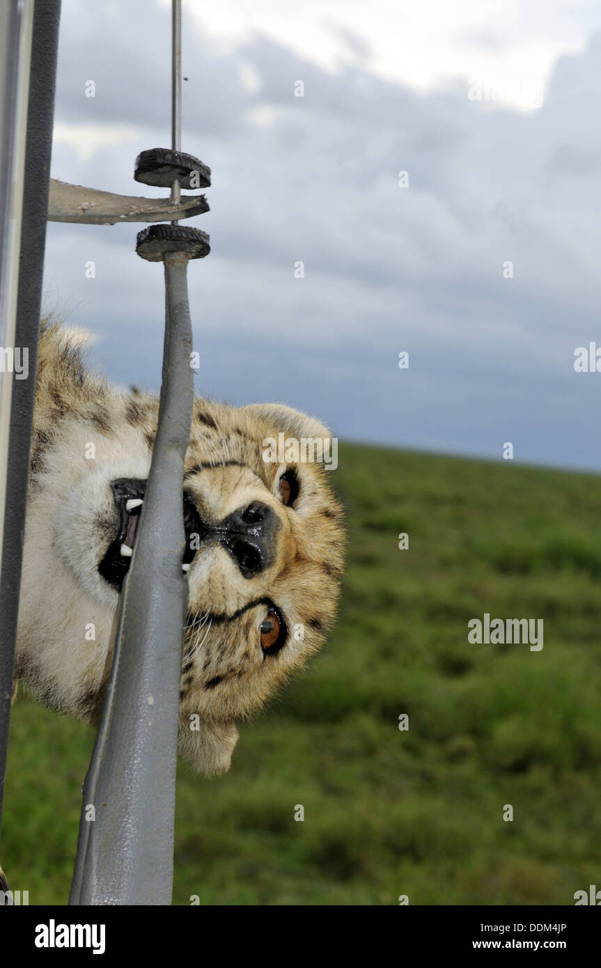 Wild cheetah climbs onto tourist vehicle in Africa Tanzania Collection - Stock Image
