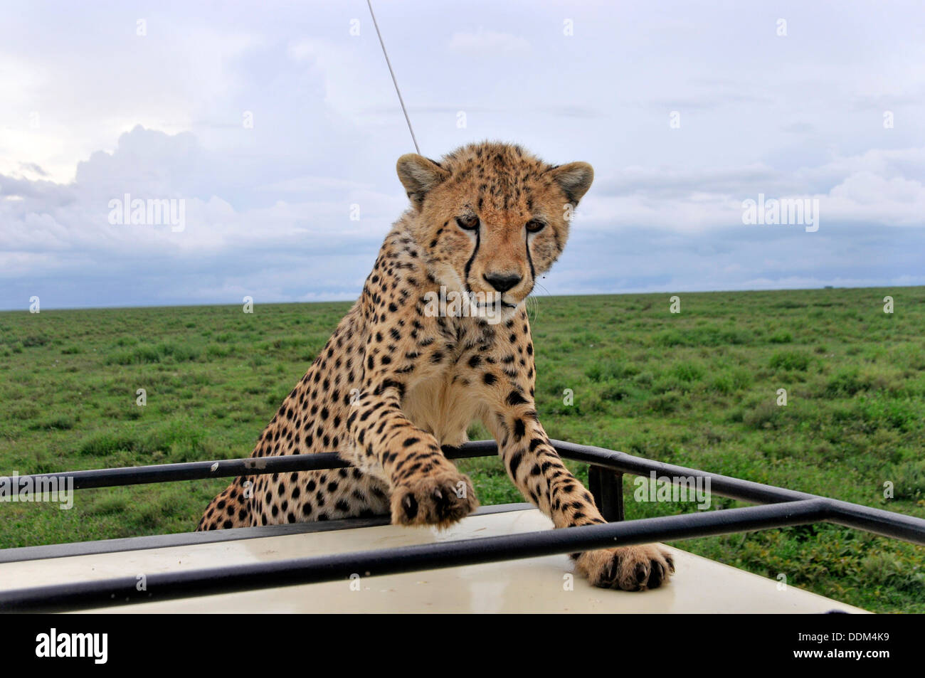 Young cheetah on roof of tourist vehicle in Africa Tanzania Collection - Stock Image