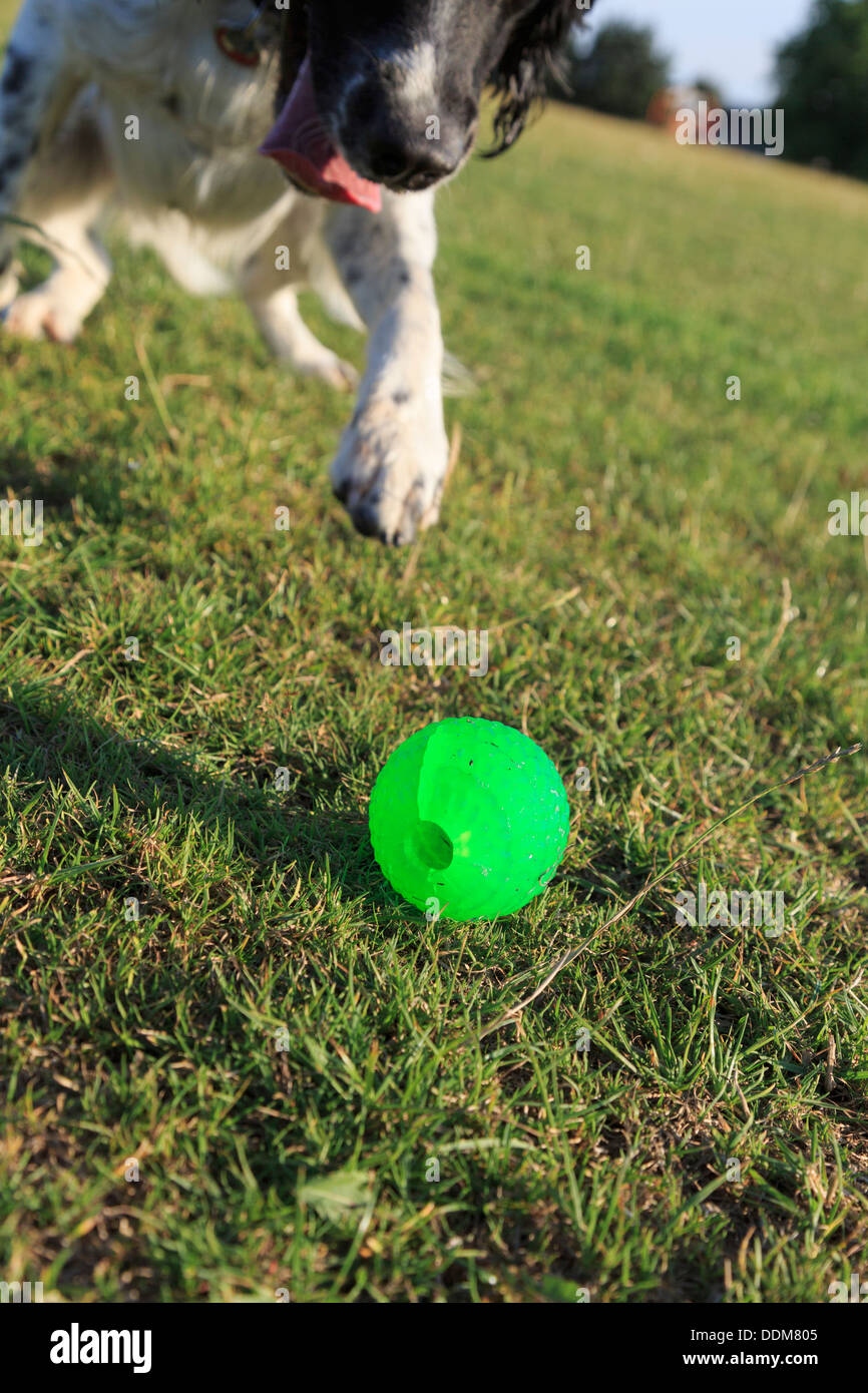 A playful adult black and white English Springer Spaniel dog chasing a green ball on grass outside. England UK Britain Stock Photo