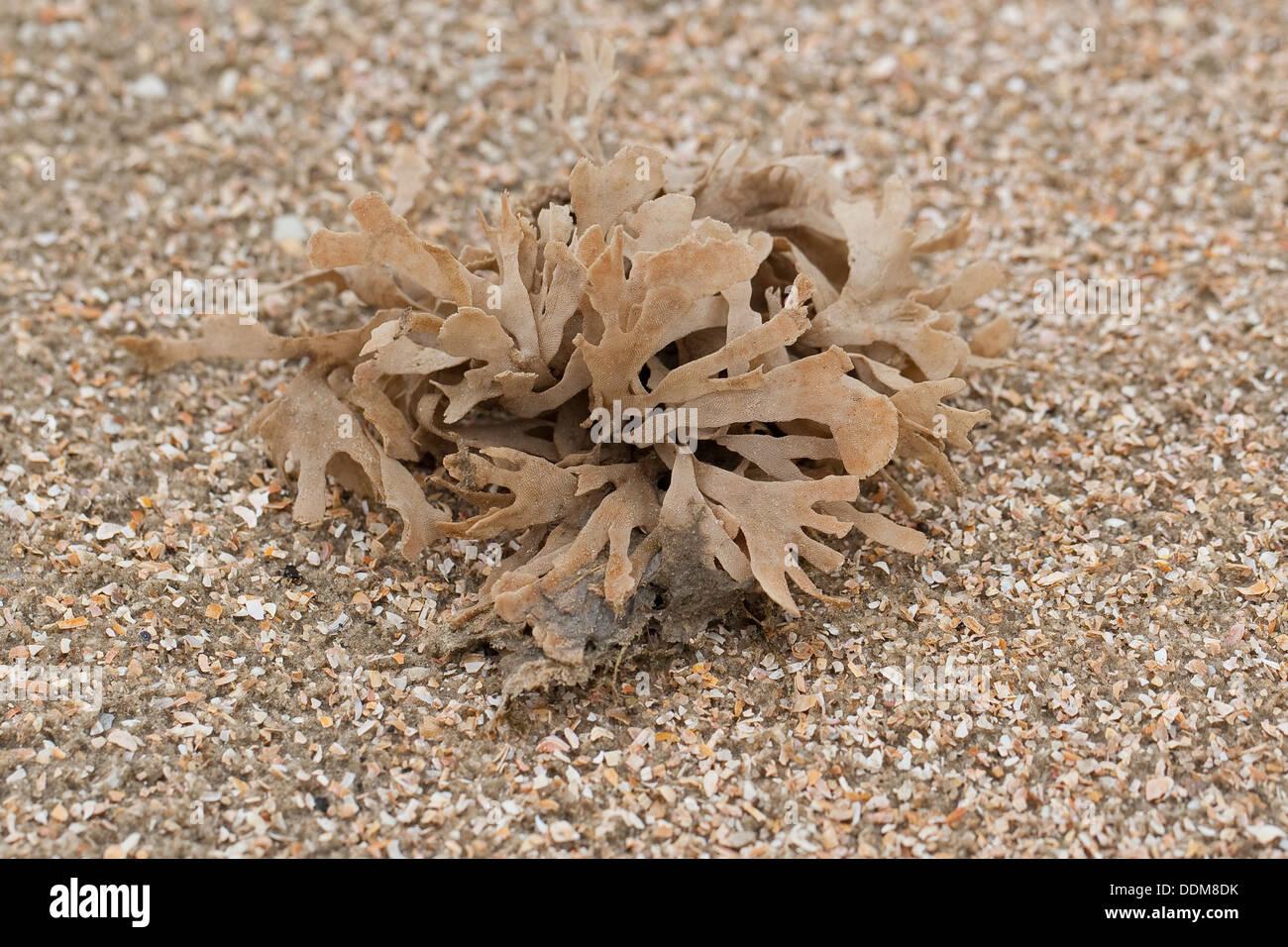 Broad-leaved Hornwrack, Blätter-Moostierchen, Blättermoostierchen, Moostierchen, Flustra foliacea Stock Photo