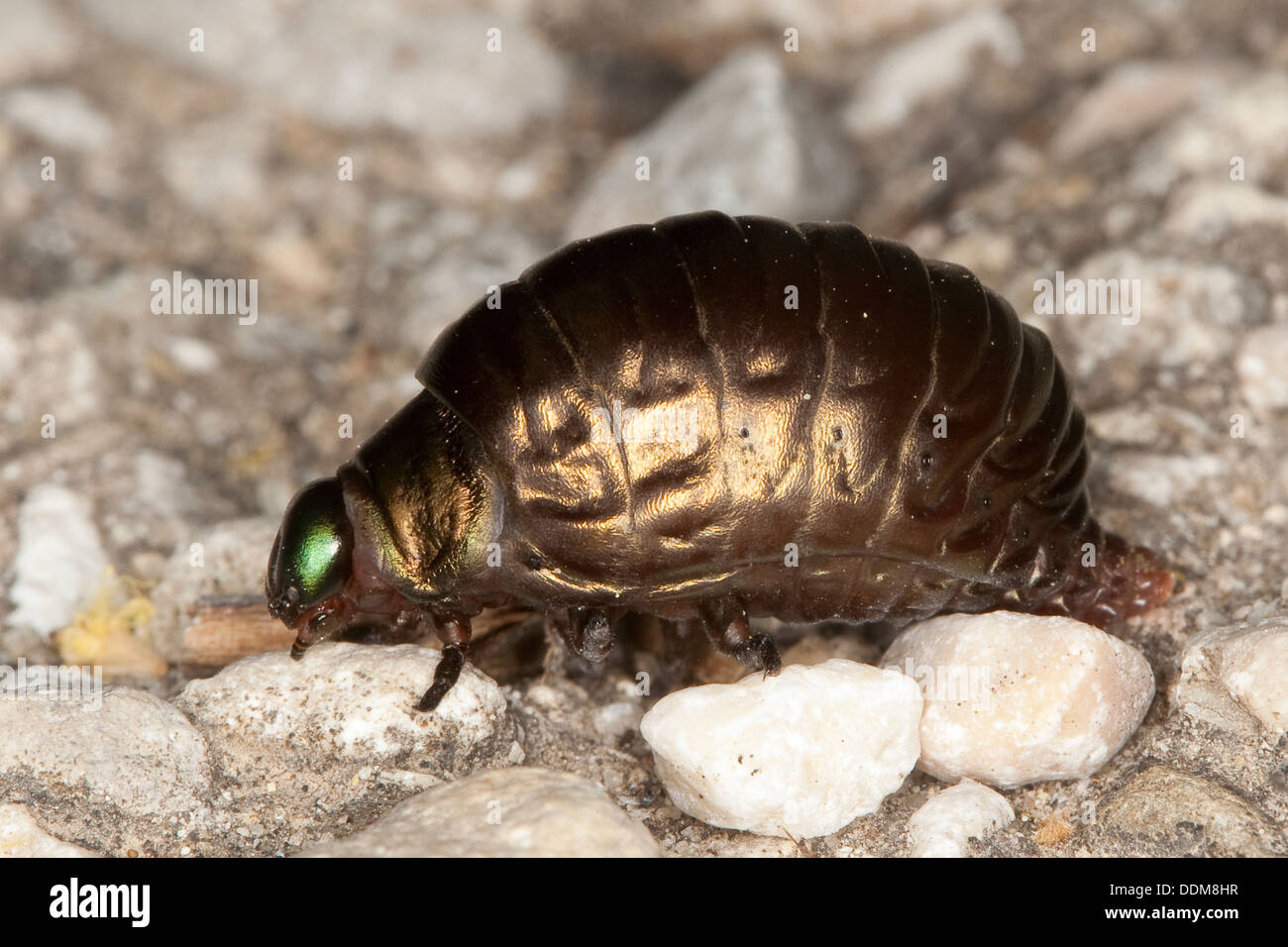 leaf beetle, leafbeetle, larvae, Tatzenkäfer, Tatzen-Käfer, Larve eines Blattkäfer, Timarcha spec., Chrysomelidae, Käferlarve - Stock Image