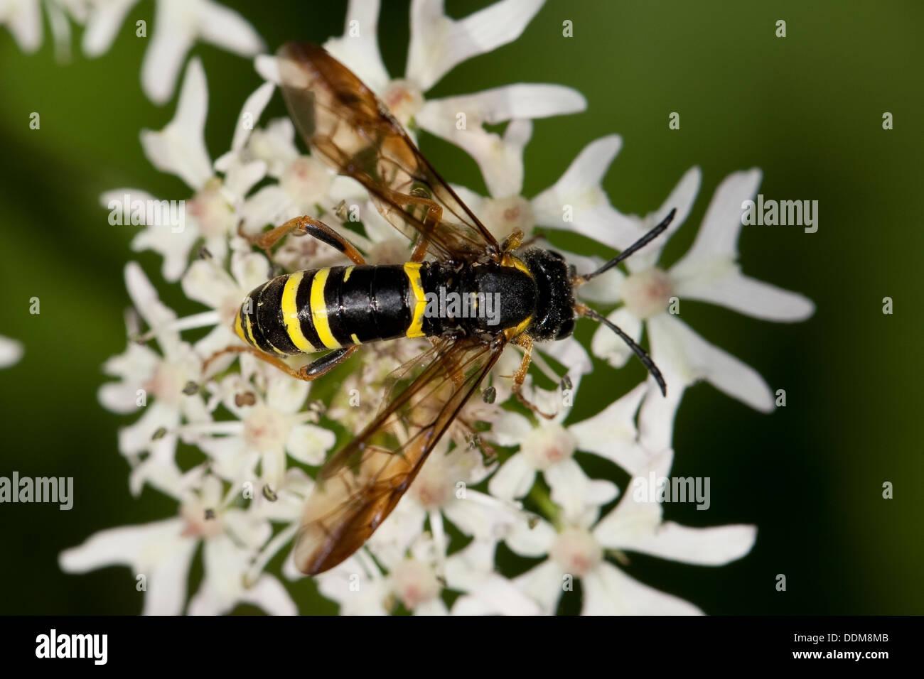 sawfly,  saw-fly, Blattwespe, Tenthredo spec. Stock Photo