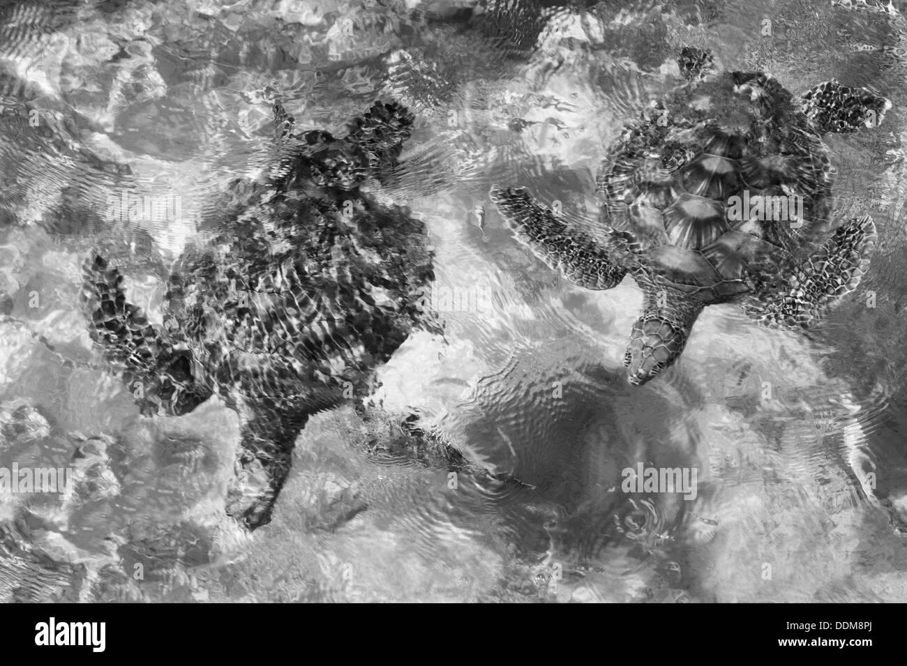 Green Sea Turtles. Bora Bora. French Polynesia. - Stock Image