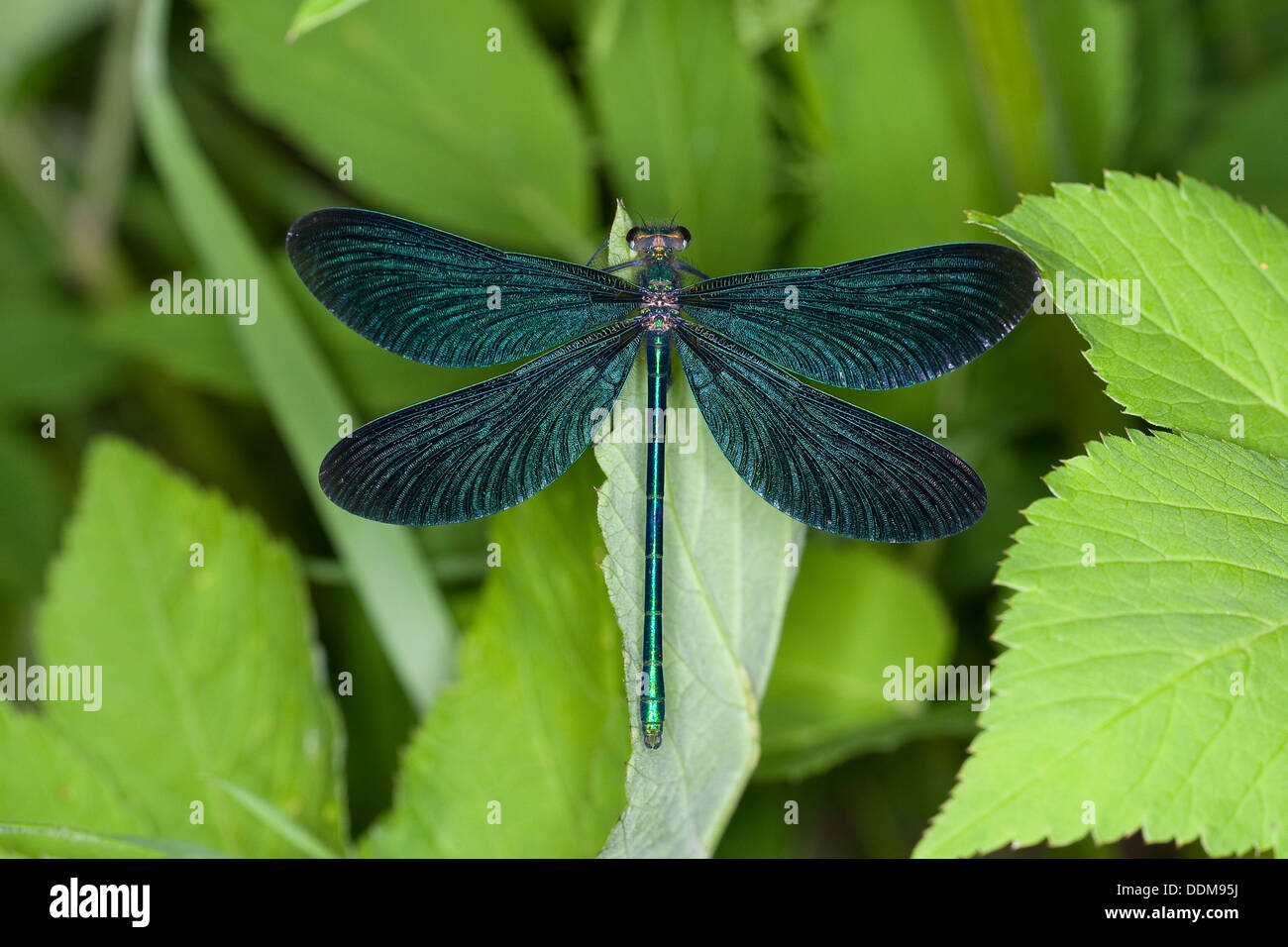 bluewing, demoiselle agrion, Beautiful Demoiselle, male, Blauflügel-Prachtlibelle, Blauflügelprachtlibelle, Calopteryx Stock Photo