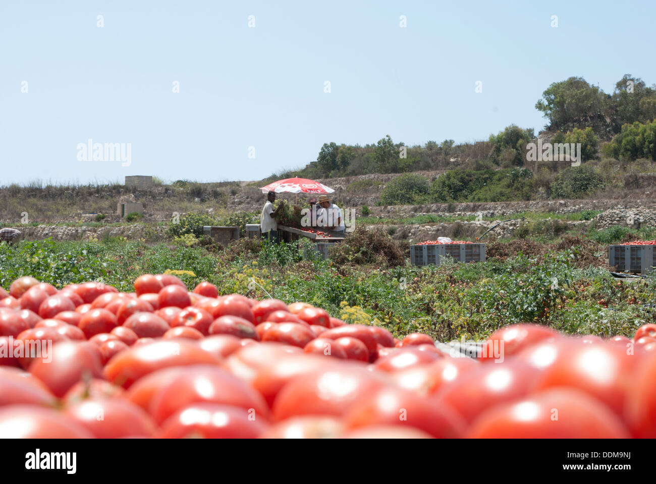 Farm workers grading tomatoes - Stock Image