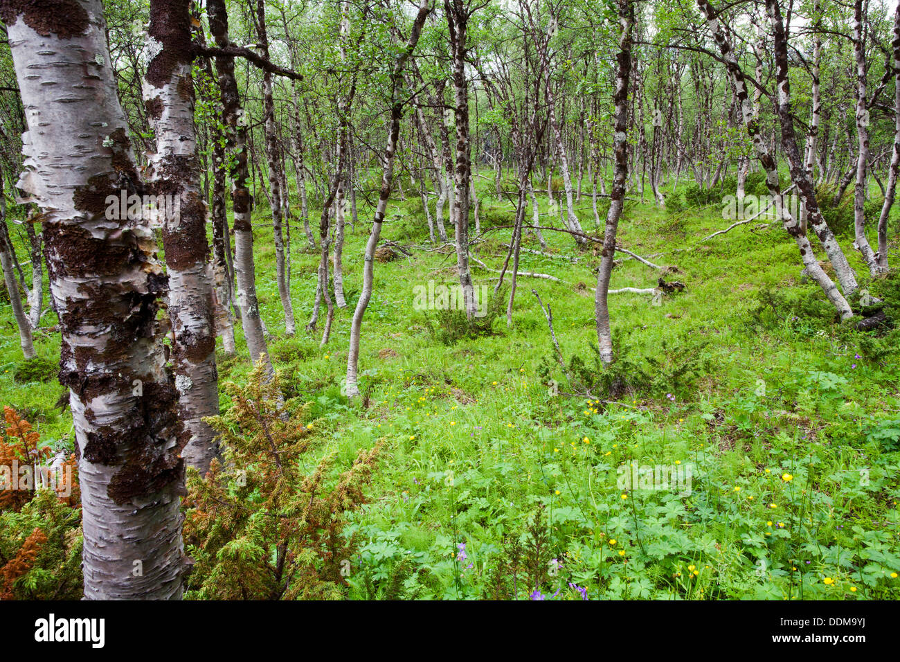 Boreal birch forest from Kilpisjärvi, Finland - Stock Image