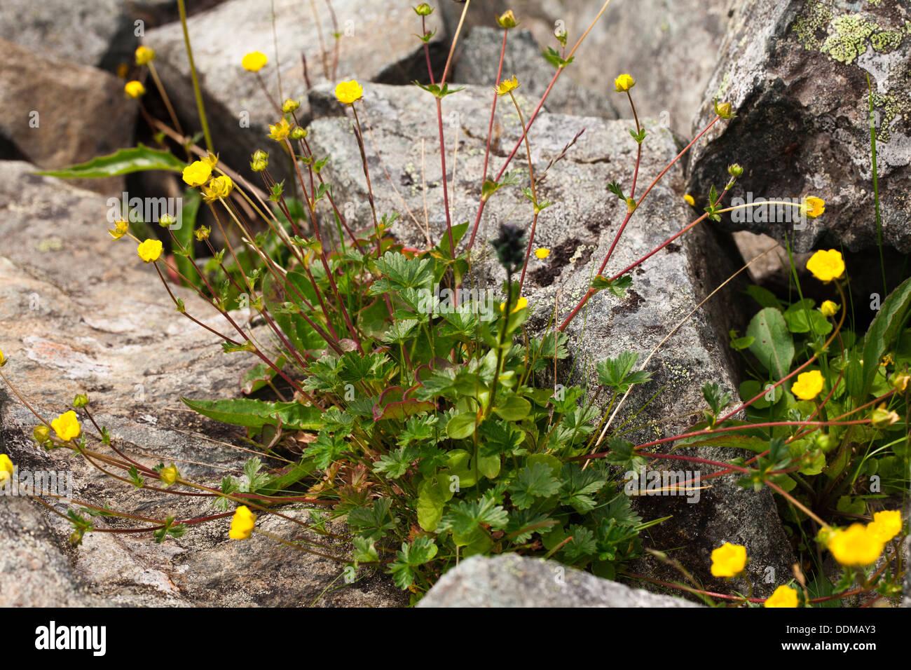 Snow cinquefoil (Potentilla nivea) flowers - Stock Image