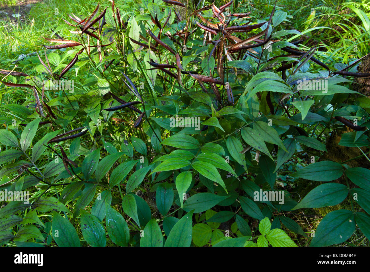 Spring vetchling (Lathyrus vernus) in autumn with seed pods - Stock Image