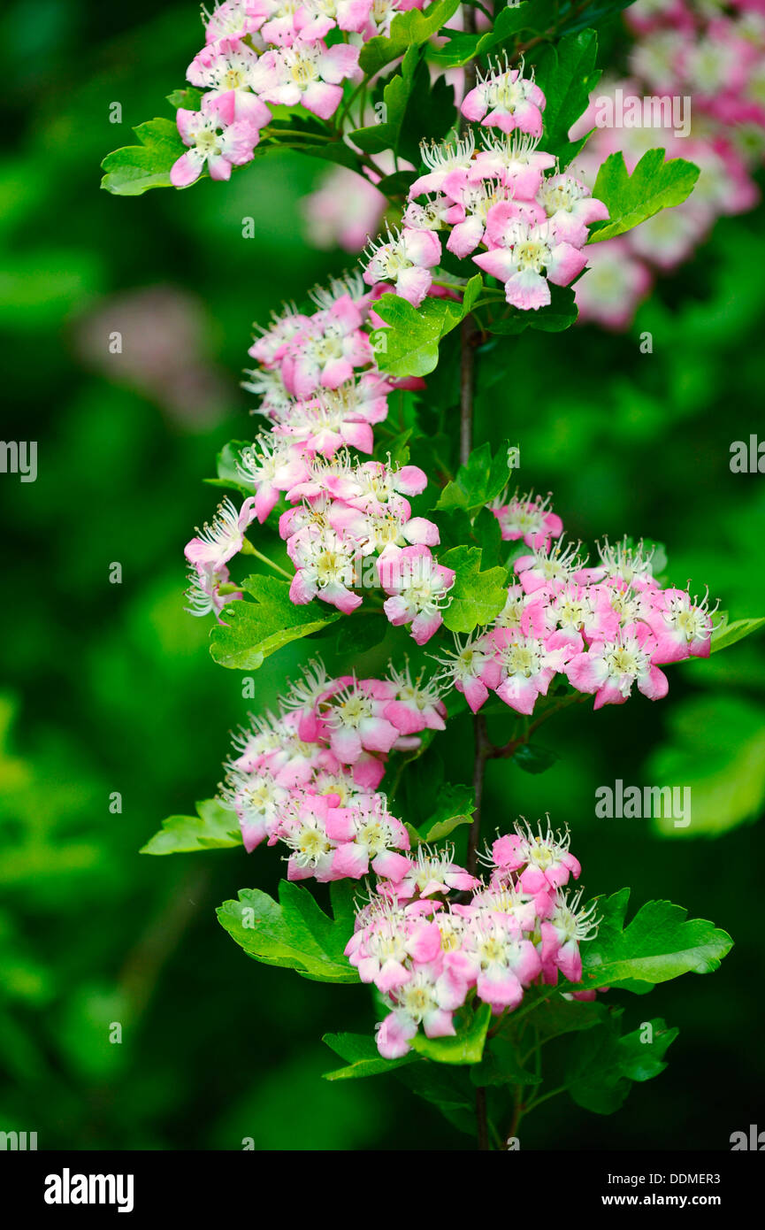 Close-up of white blossom flowers of the Hawthorn tree - Stock Image