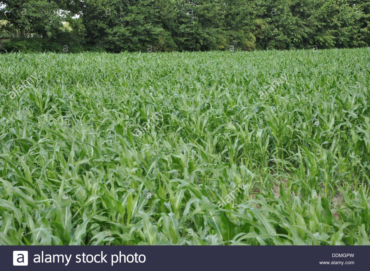 Corn field in Poland Stock Photo