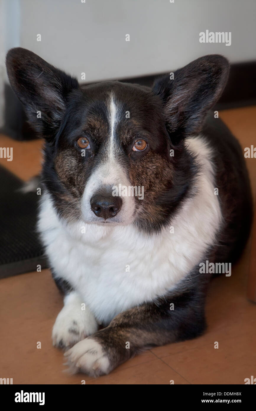 Frodo, pet dog, mascot, sits quietly at the door greeting friends and customers - Stock Image