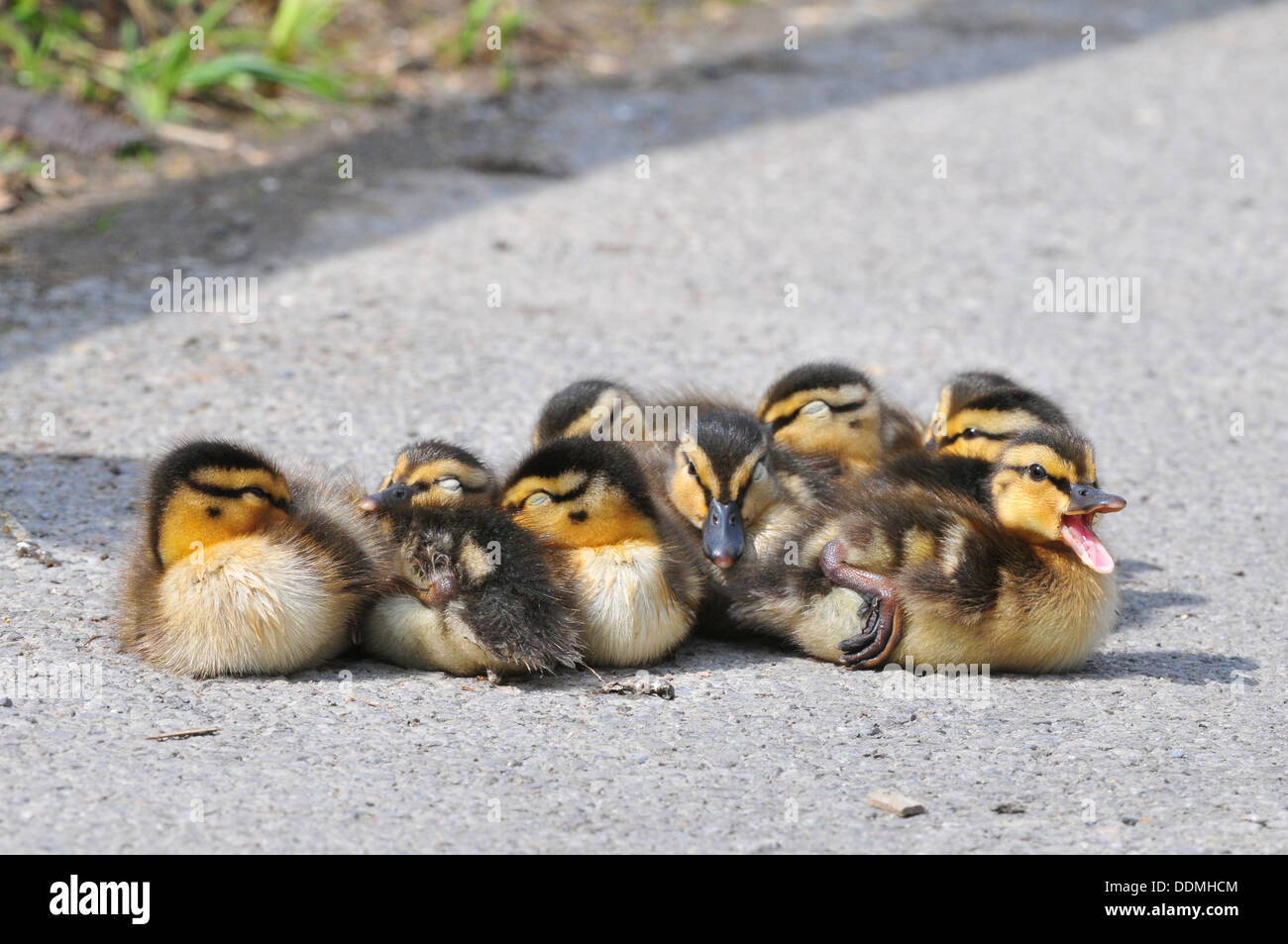 Mallard Ducklings - Stock Image