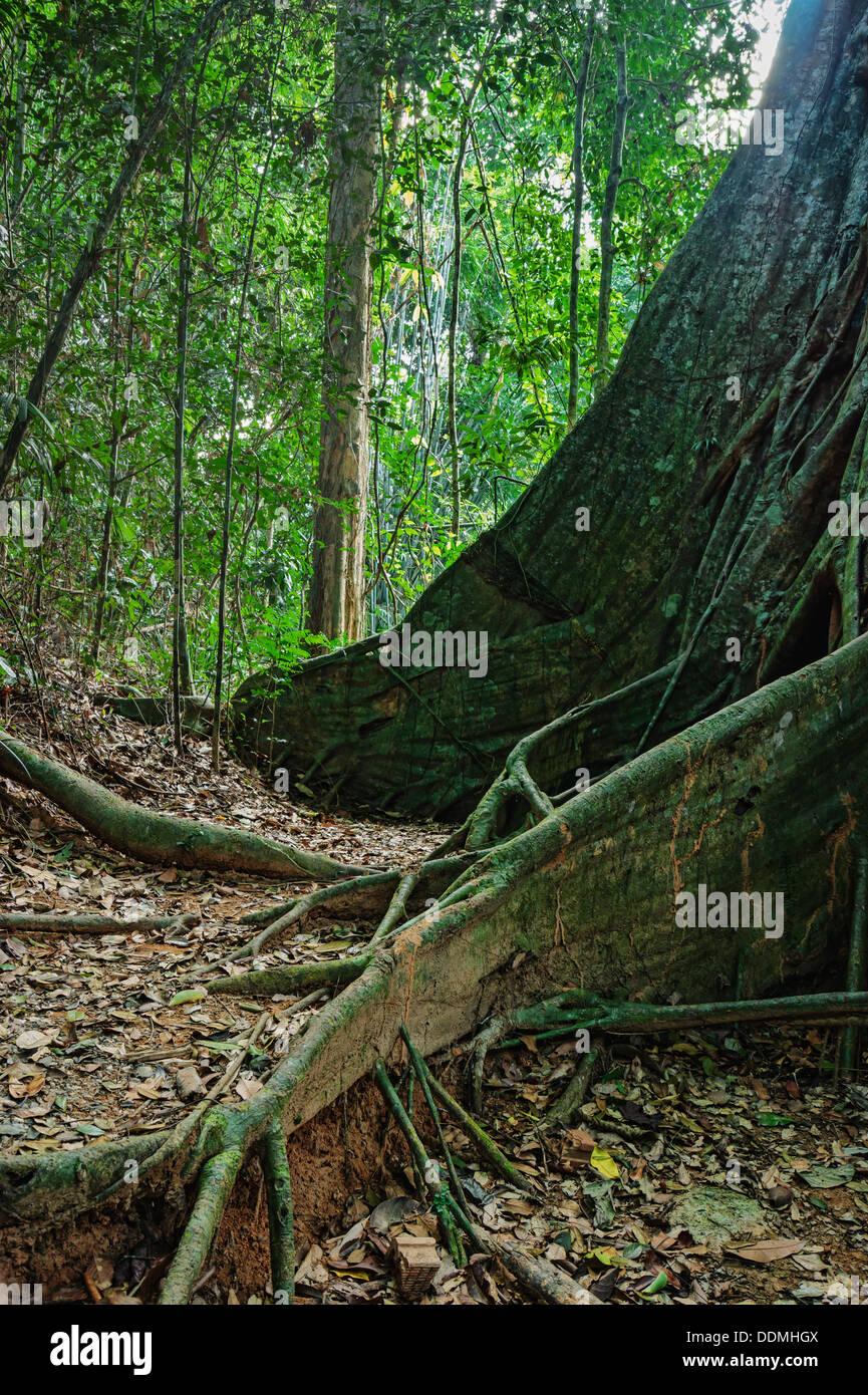 tropical jungles of South East Asia - Stock Image