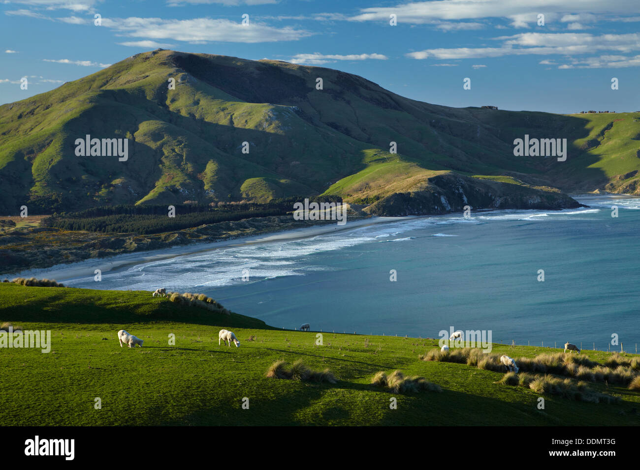 Sheep, farmland, Allans Beach and Mt Charles, Otago Peninsula, Dunedin, Otago, South Island, New Zealand Stock Photo