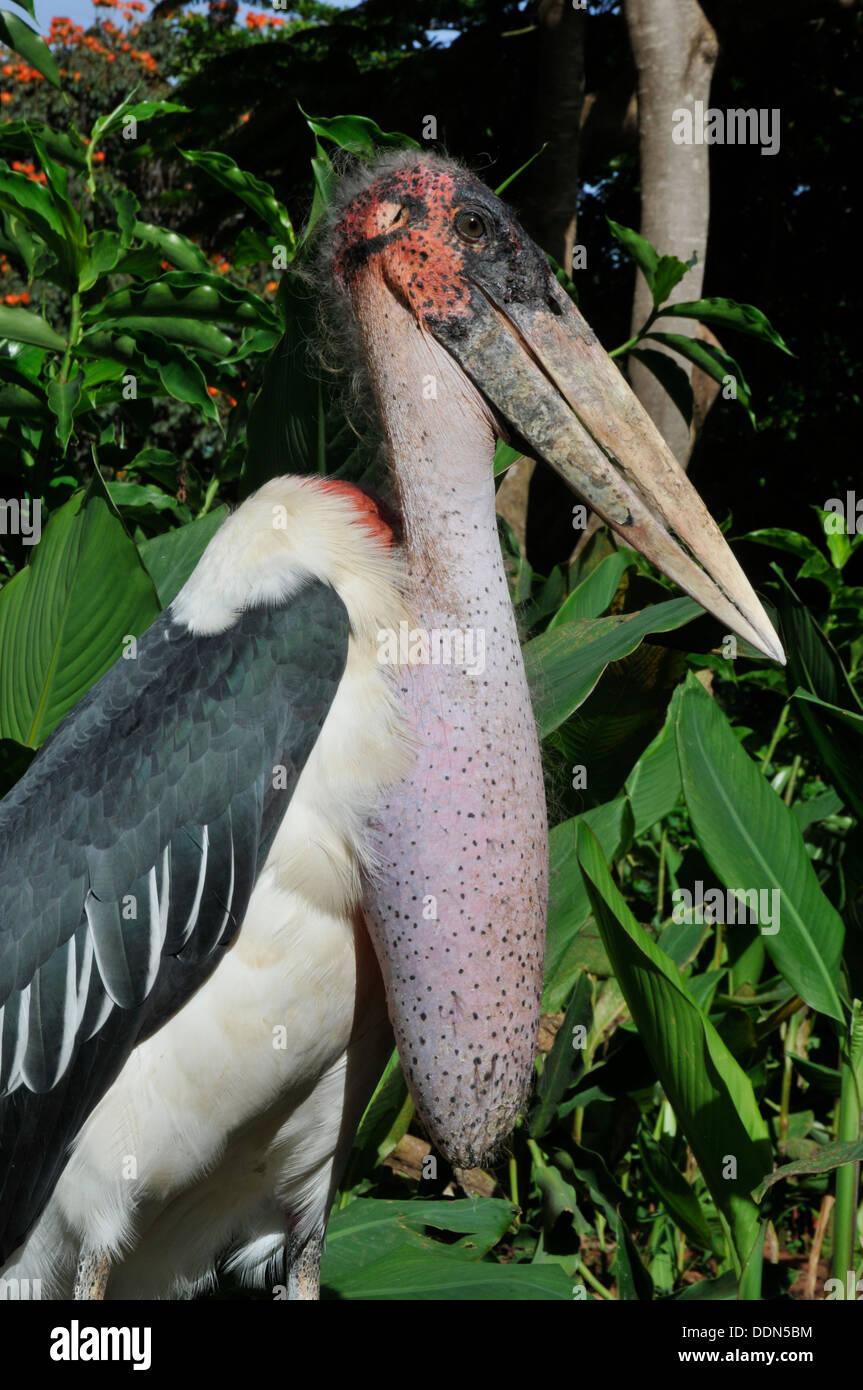 Profile of Marabou Stork Tanzania Collection - Stock Image