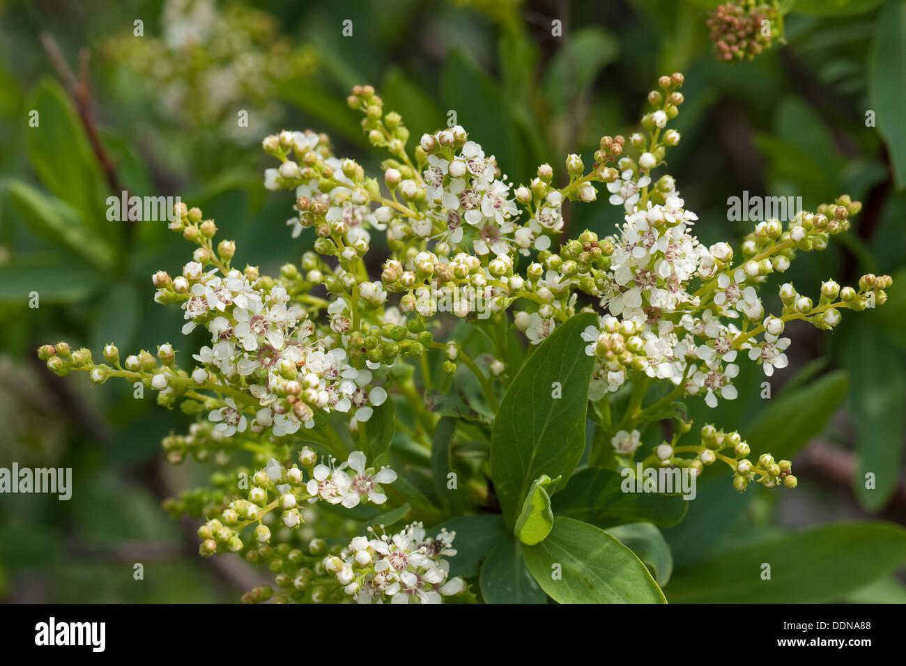 Croatian Sibirea, Blauspiere, Kroatische Blauspiere, Sibirische Blauspiere, Sibiraea altaiensis croatica, Sibiraea laevigata - Stock Image