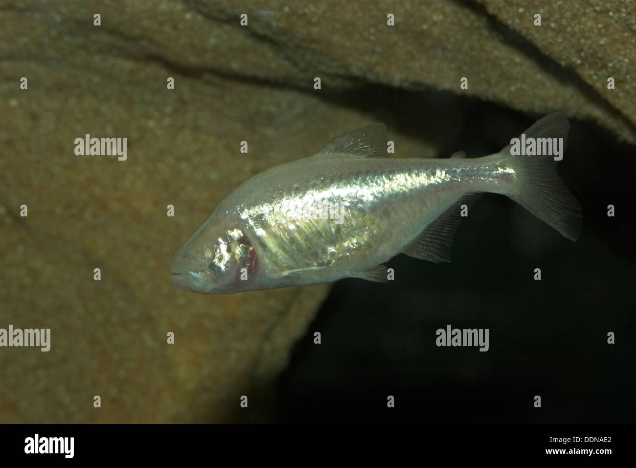 Blind cavefish, Blinder Höhlensalmler, Astyanax mexicanus, Astyanax fasciatus mexicanus, Anoptichthys jordani, Höhlenfisch - Stock Image