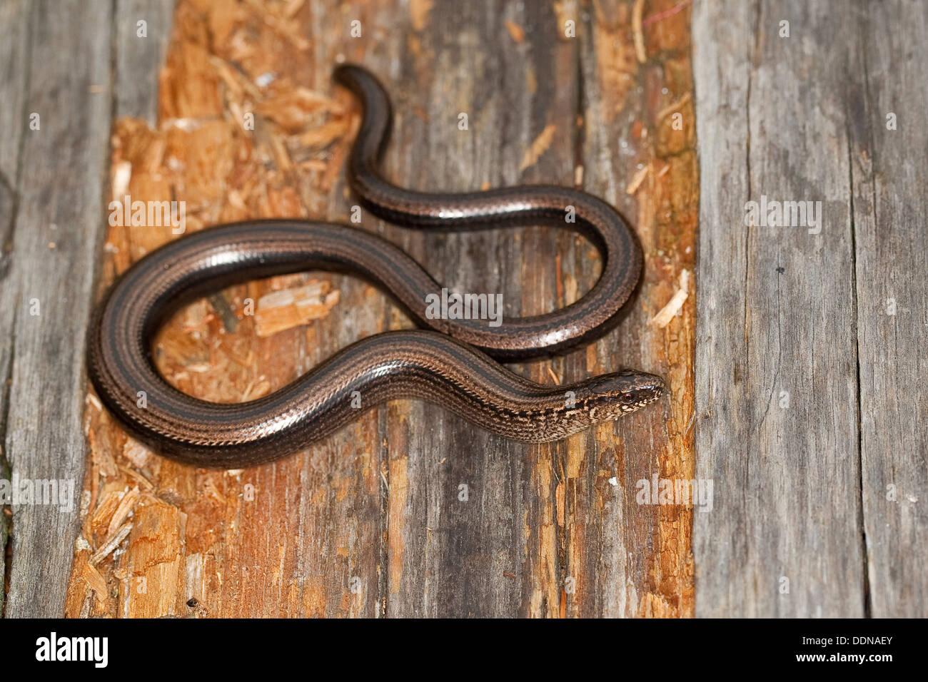 European slow worm, blindworm, Blindschleiche, Blind-Schleiche, Schleiche, Anguis fragilis Stock Photo