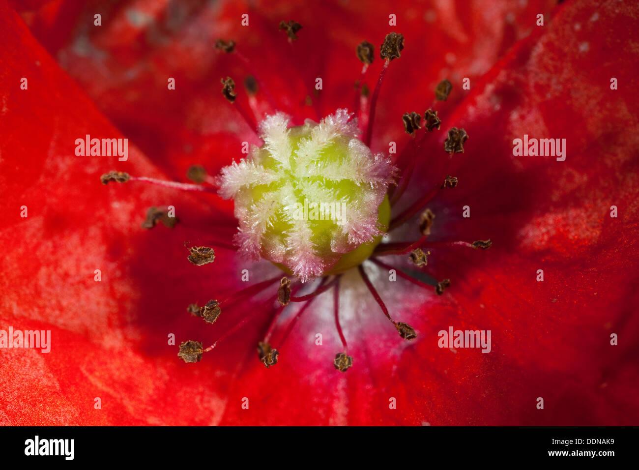 Poppy, bloom, blossom, Mohn, Blüte mit Stempel, Narbe, Fruchtknoten und Staubbeuteln, Blütenaufbau, Blütenökologie, Stock Photo