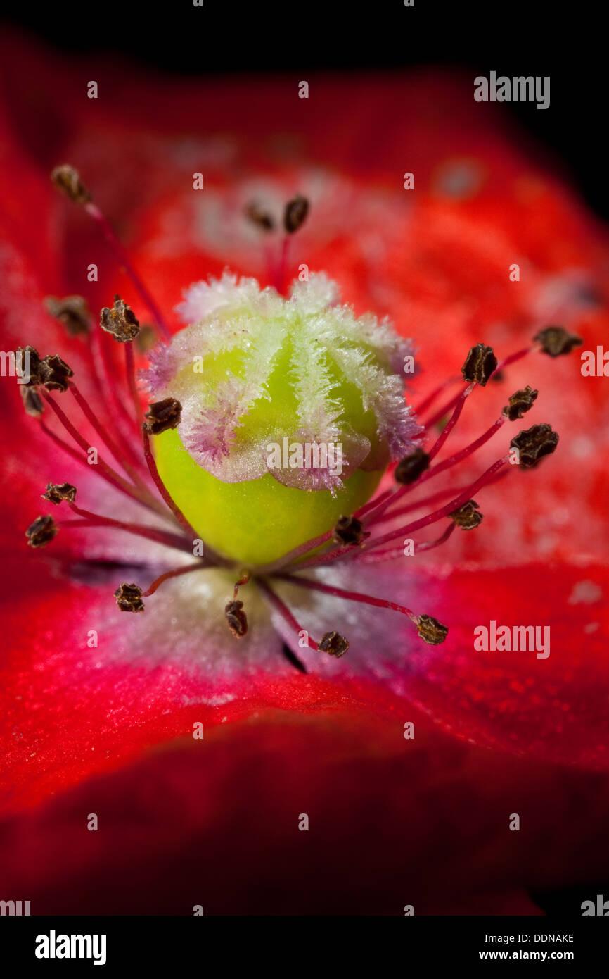 Poppy, bloom, blossom, Mohn, Blüte mit Stempel, Narbe, Fruchtknoten und Staubbeuteln, Blütenaufbau, Blütenökologie, Papaver - Stock Image