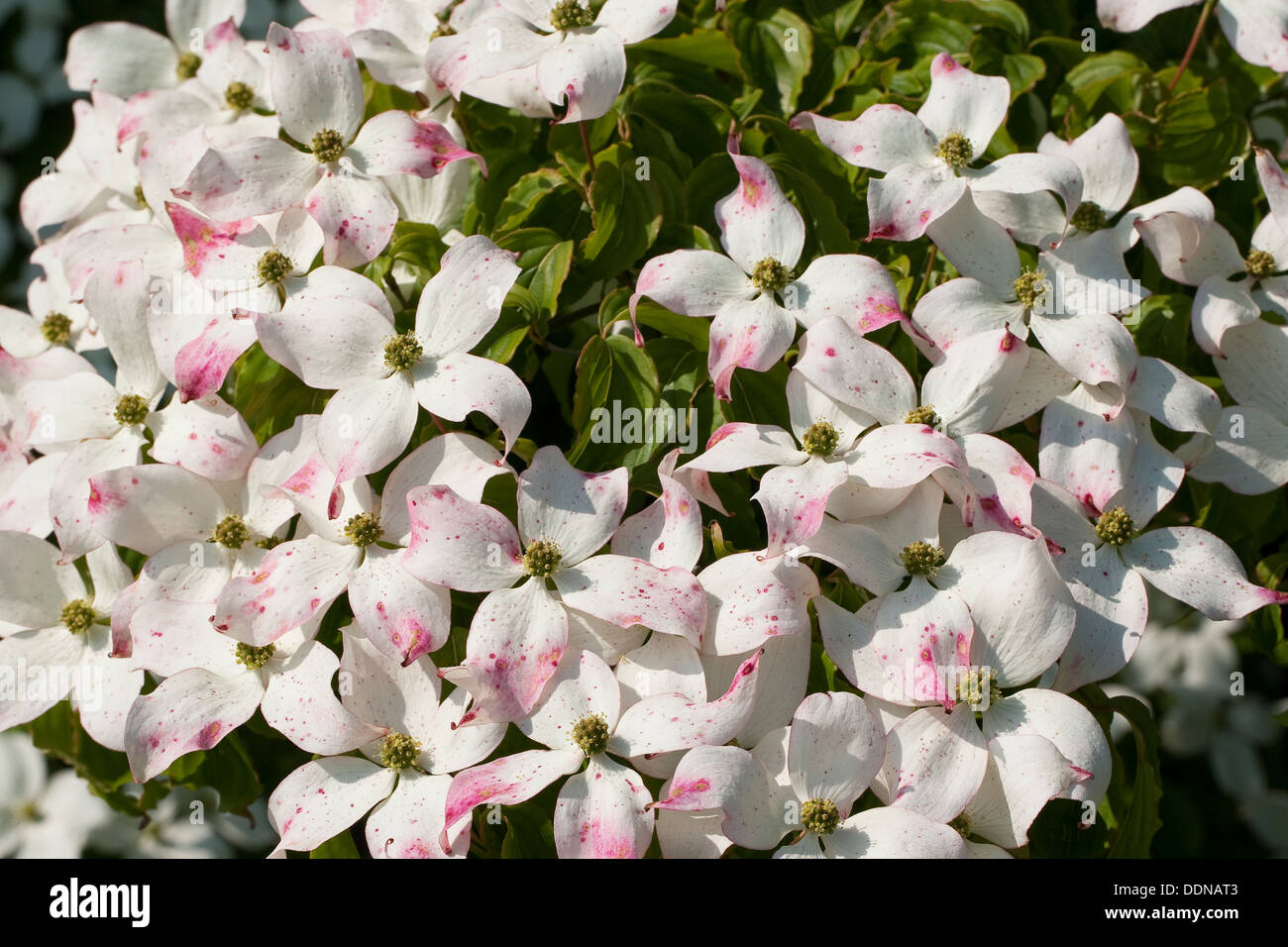 japanese dogwood japanischer blumen hartriegel blumenhartriegel stock photo 60091139 alamy