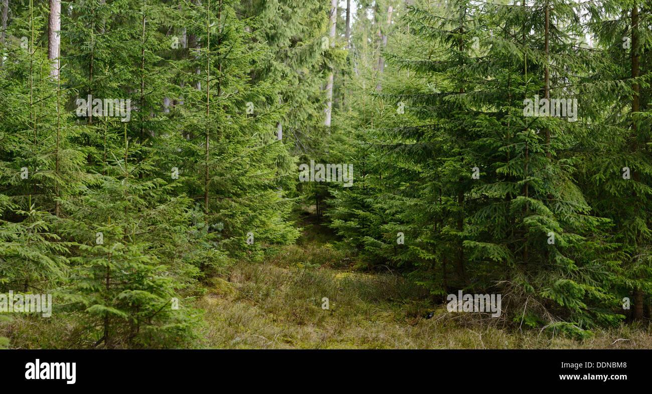 Norway Spruces, Picea abies, Upper Palatinate, Bayern, Deutschland, Europa - Stock Image