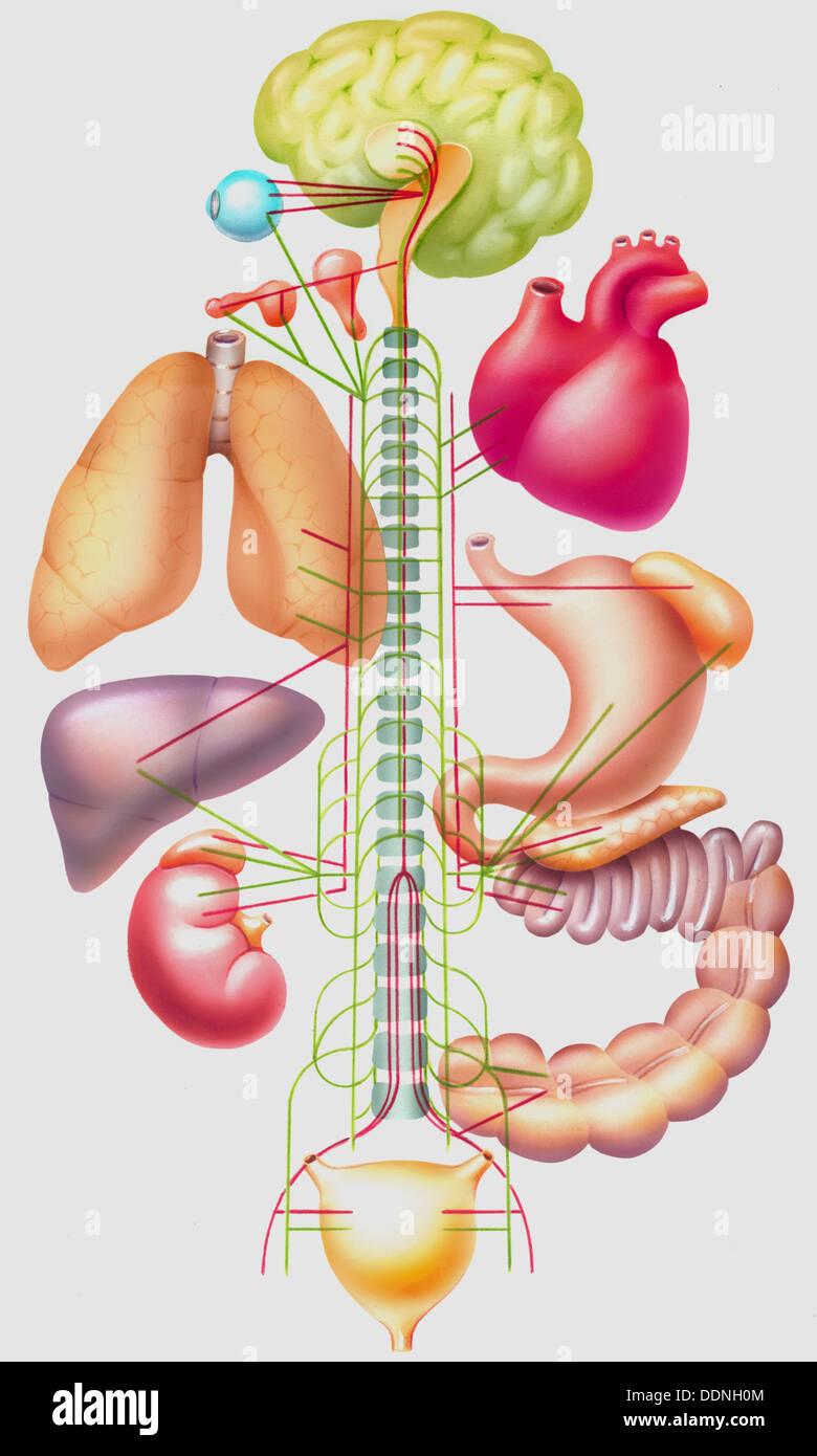Autonomic nervous system Stock Photo: 60095972 - Alamy