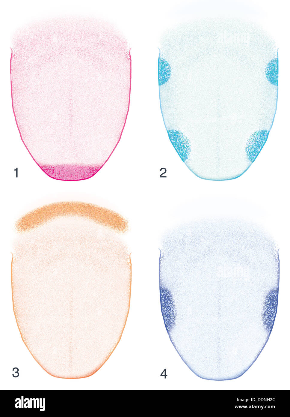 Flavor receptors of the tongue - Stock Image