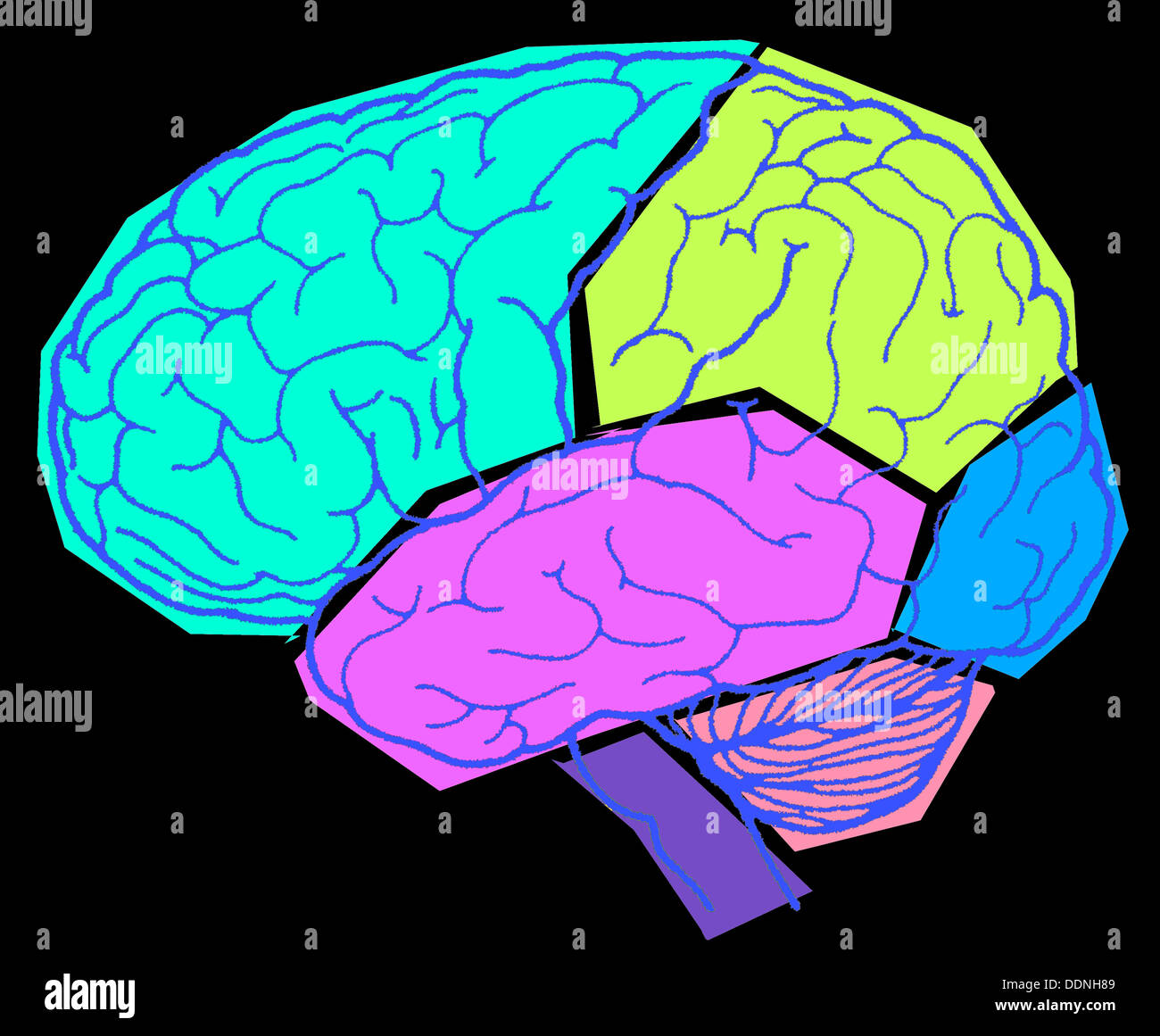 Parts of the human brain Stock Photo: 60096185 - Alamy