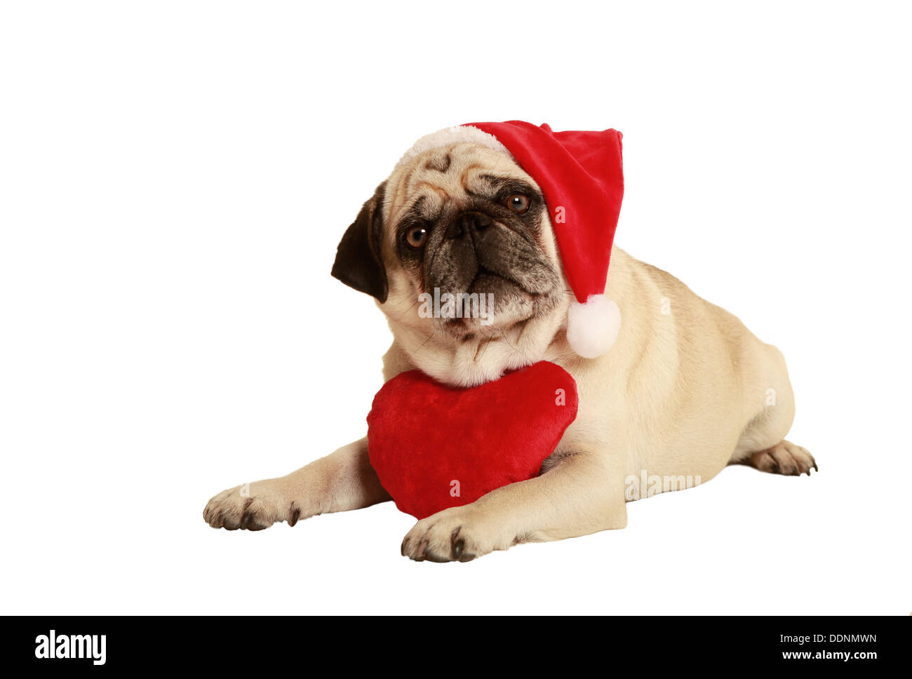 pug in Santa costume lying; exempted; white background; dressed as Santa Claus; wearing a plush heart around his neck - Stock Image