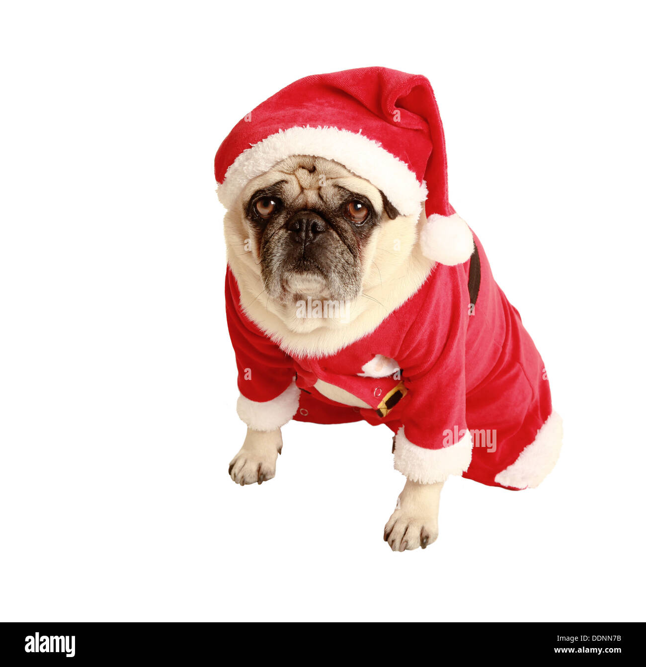 pug in red Santa costume, exempted, white background, dressed as Santa Claus, dog looking at the camera, isolated - Stock Image
