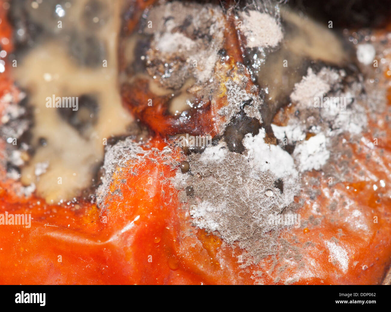 Mould, mildew culture, food mould, tomato - Stock Image