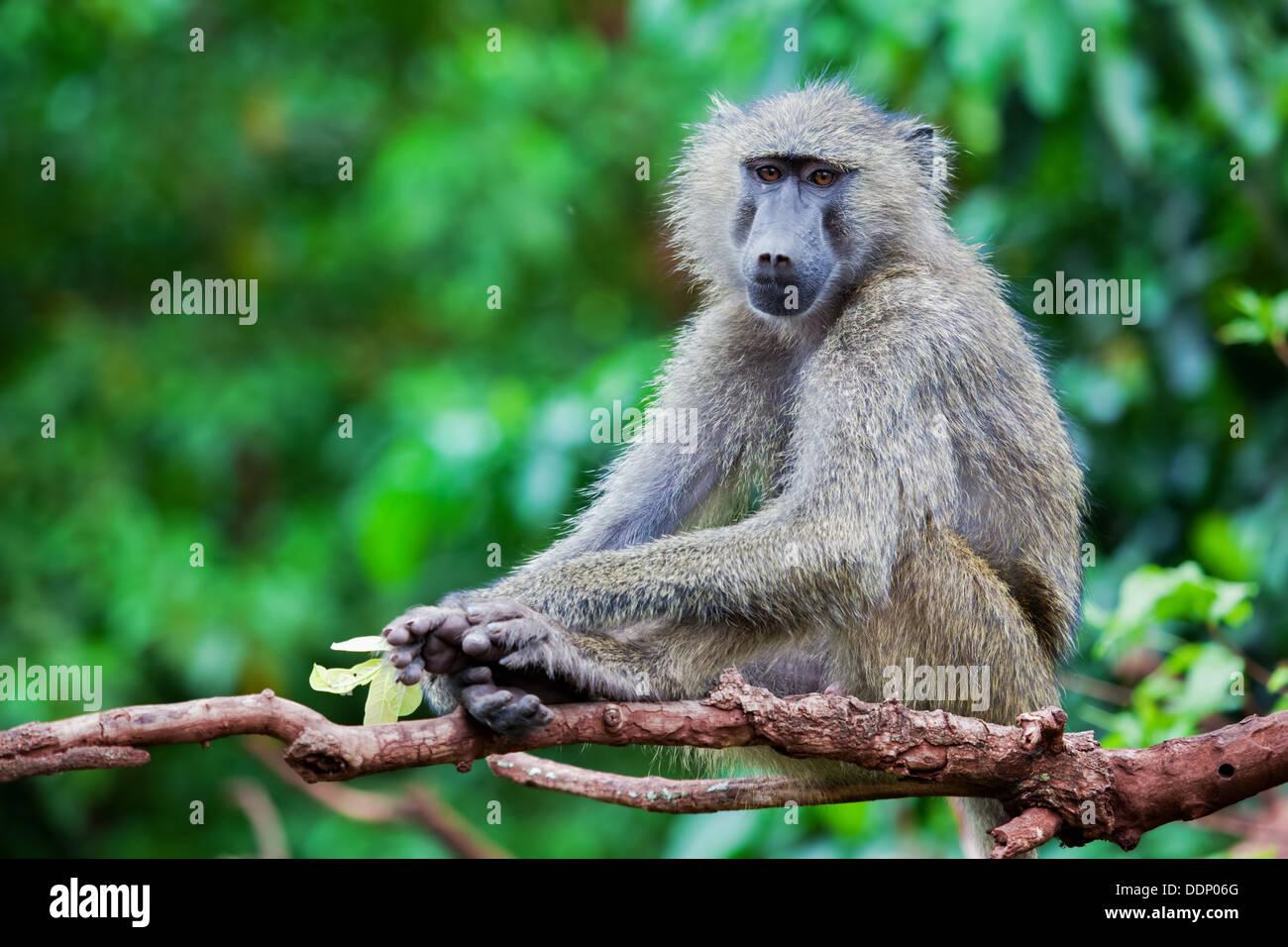 Baboon monkey in African bush. Lake Manyara National Park in Tanzania - Stock Image