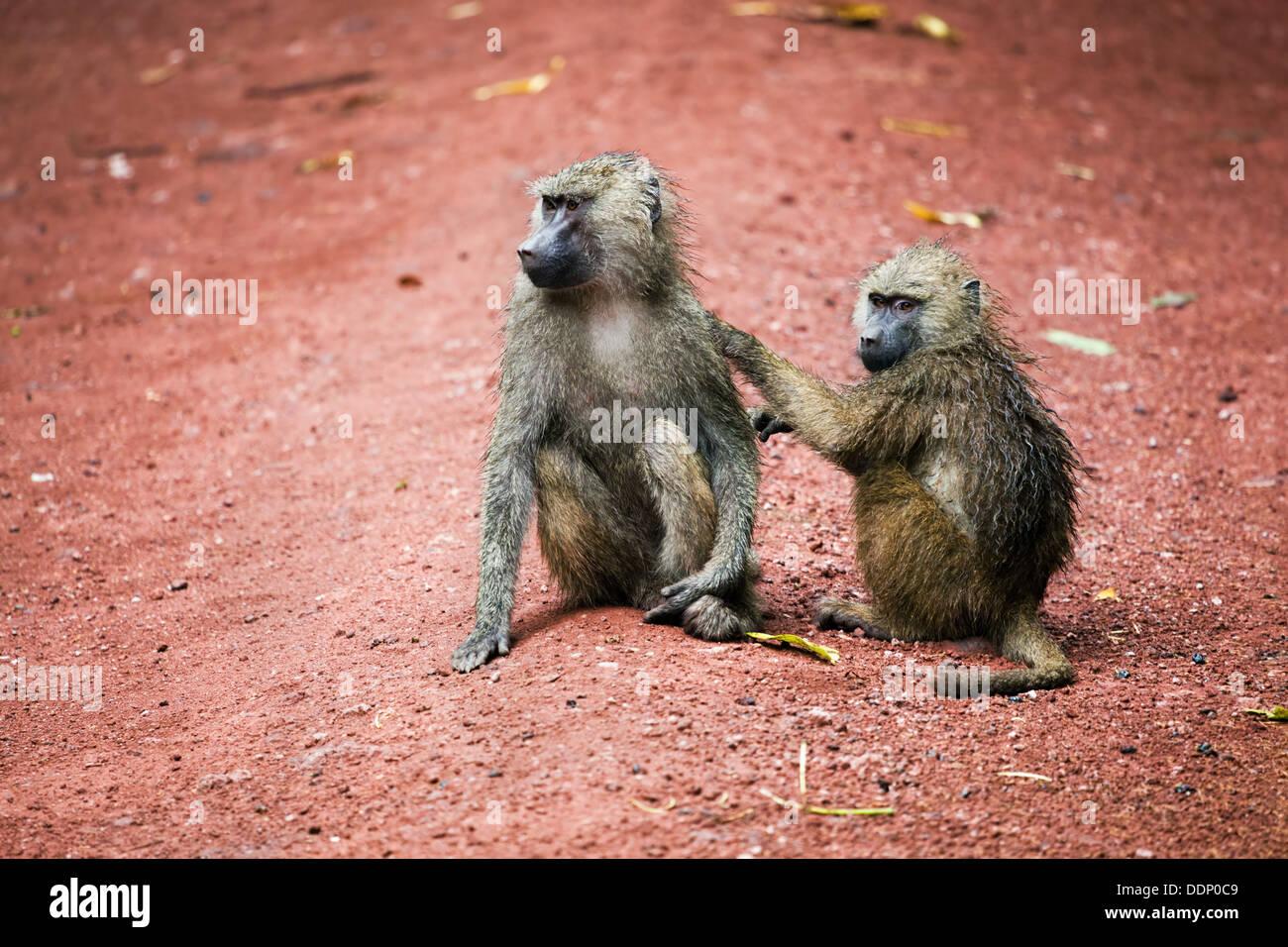 Two Baboon monkeys grooming in African bush at Lake Manyara National Park in Tanzania - Stock Image
