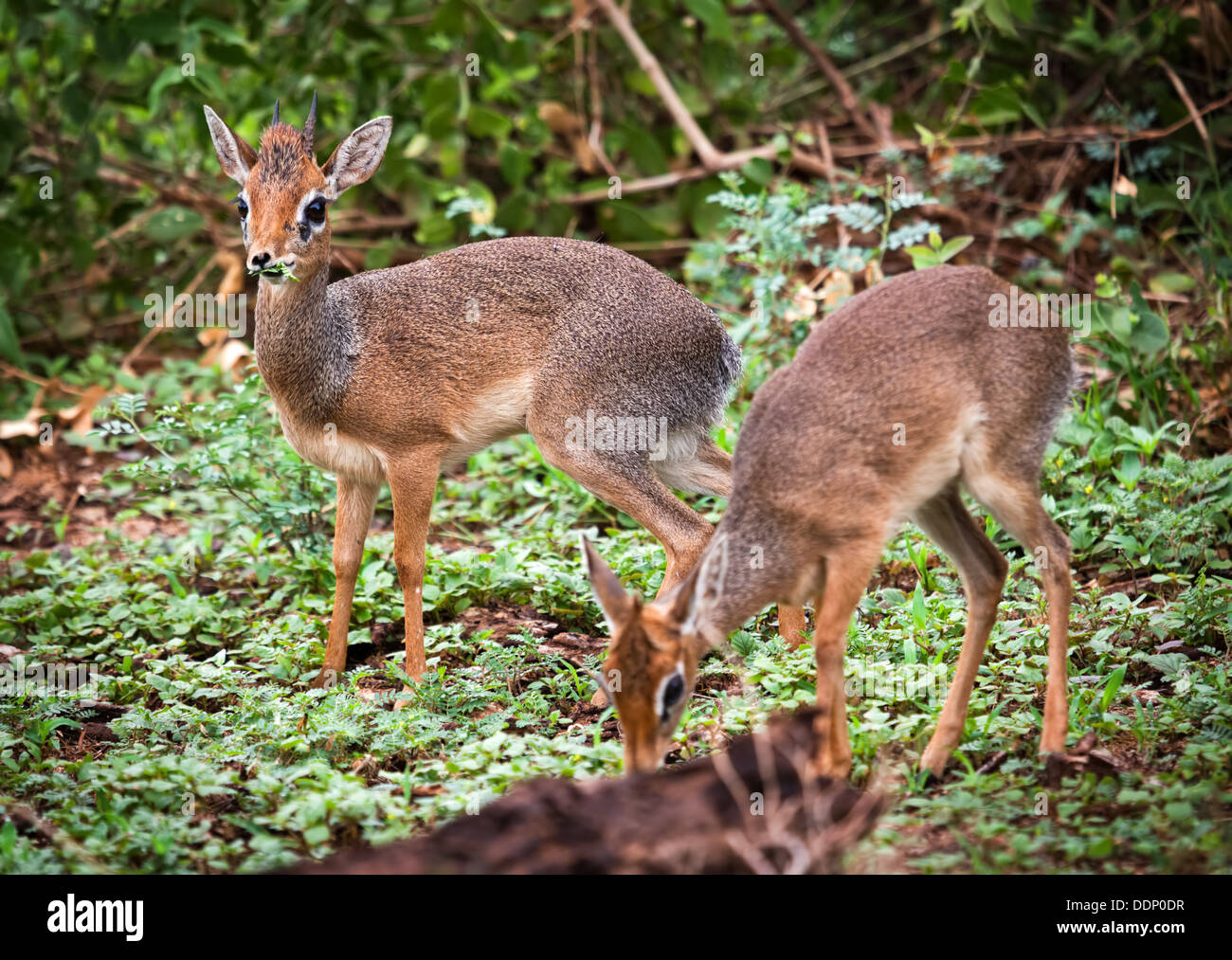 A couple of dik-dik antelopes, in Africa. Lake Manyara national park, Tanzania - Stock Image