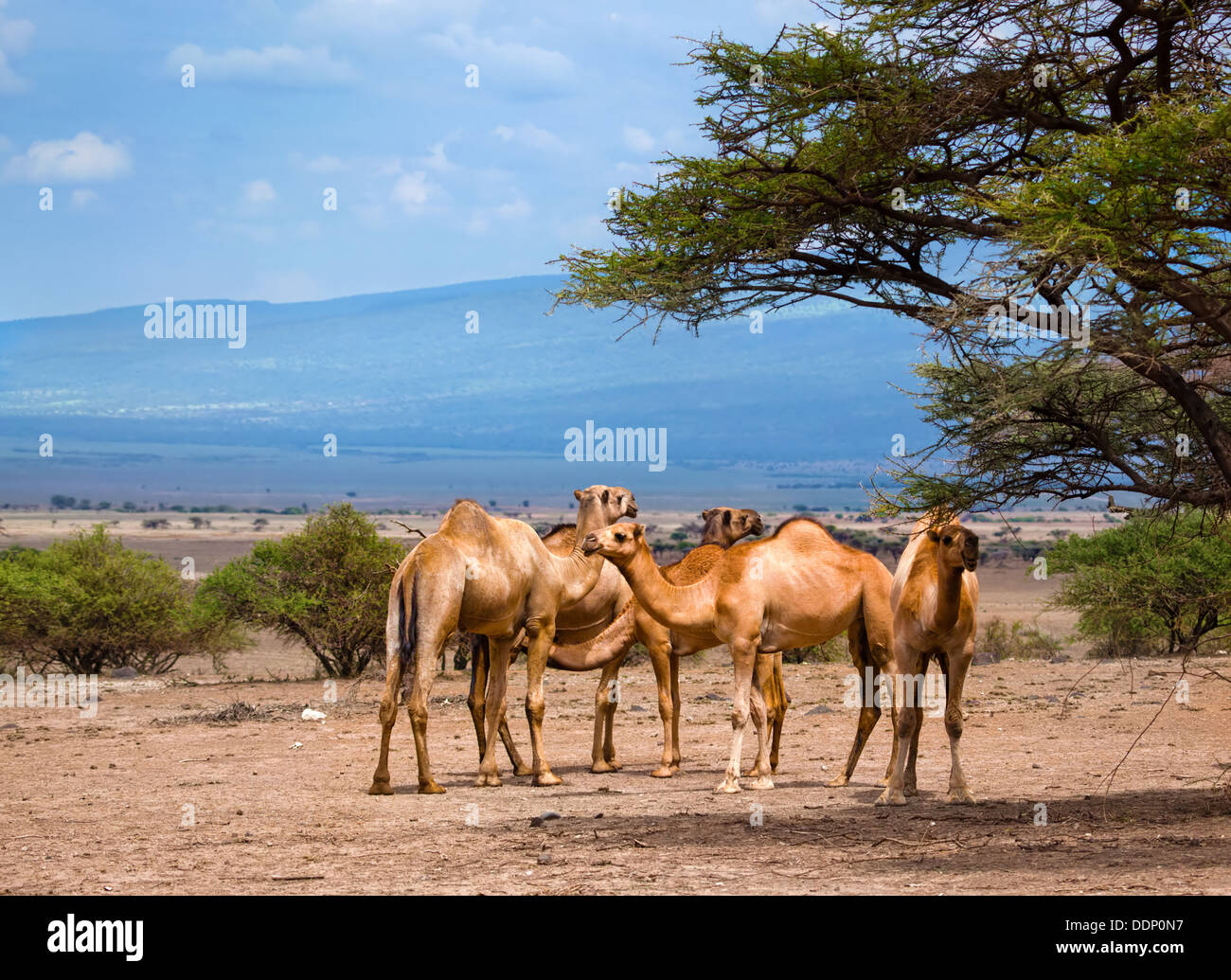 Group of camels under the tree in Africa Stock Photo