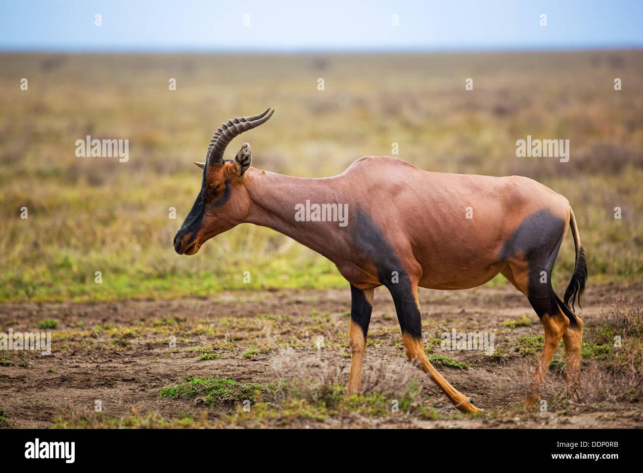 Topi (Damaliscus korrigum), a grassland antelope on savanna in the Serengeti, Tanzania, Africa - Stock Image