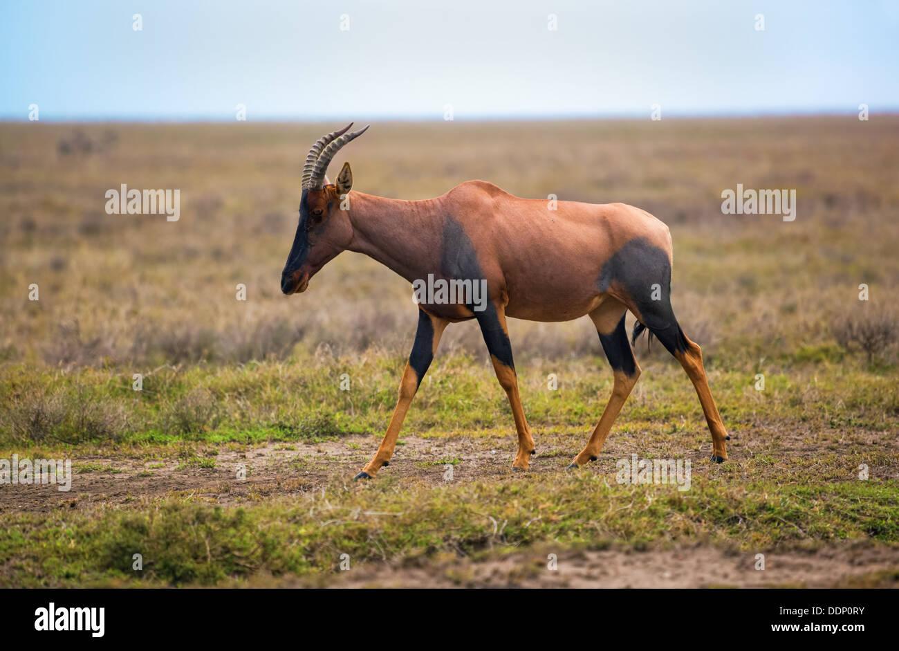 Topi, (Damaliscus korrigum) antelope in the Serengeti National Park, Tanzania, Africa - Stock Image