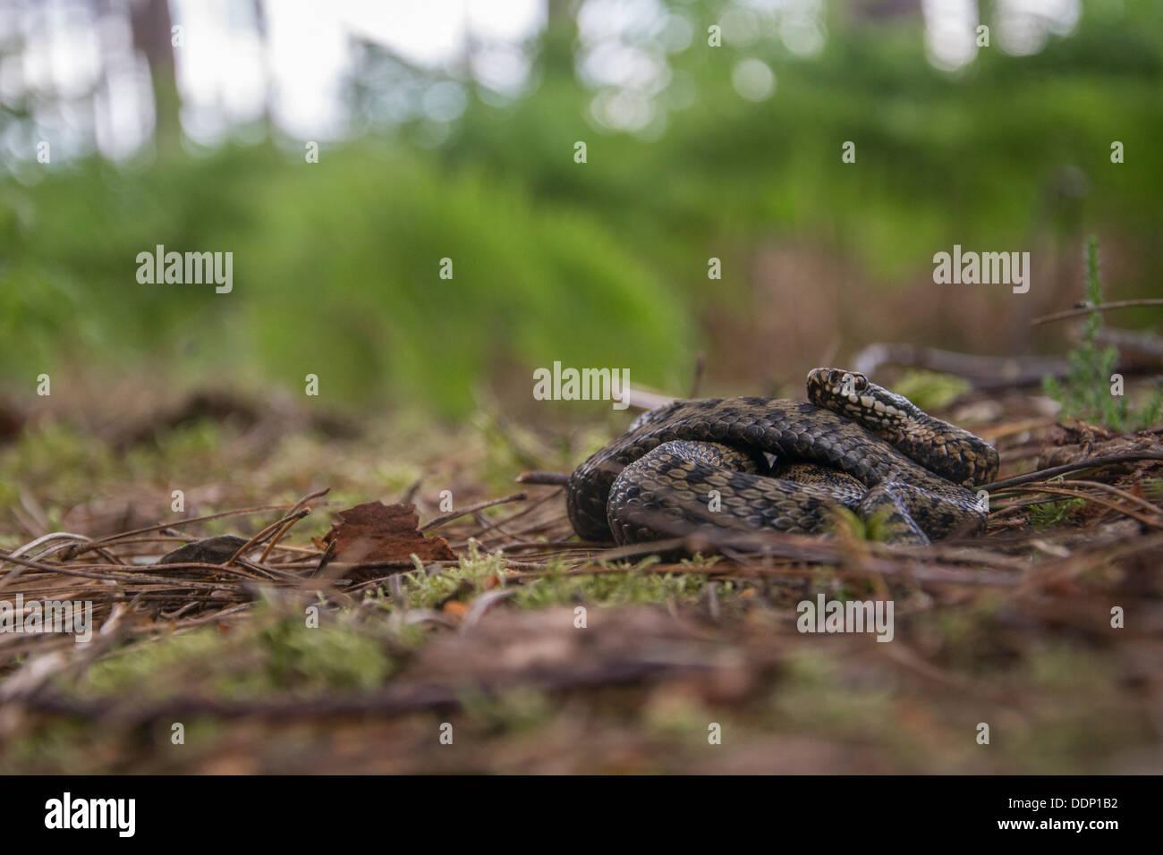 Basking adder - Stock Image