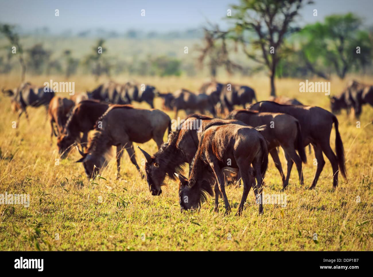 Wildlife - Wildebeest herd, Gnu in Serengeti National Park, Tanzania, Africa - Stock Image