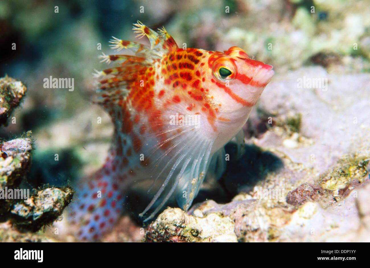 dwarf hawkfish cirrhitichthys falco indonesia stock photo