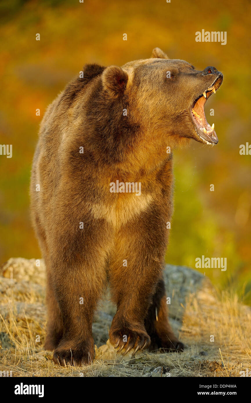 Grizzly bear Ursus arctos- captive snarling Stock Photo