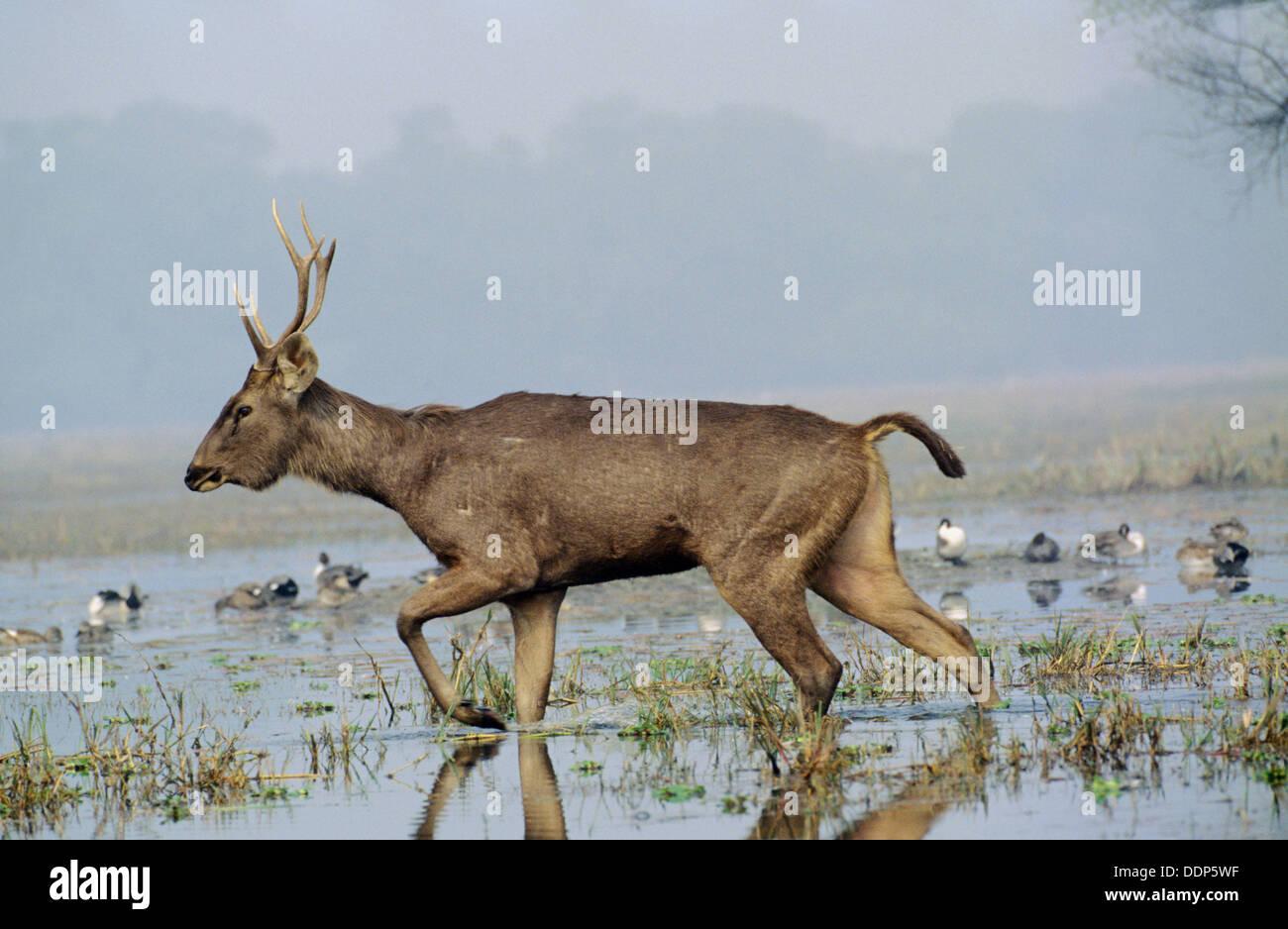 Sambar Deer male (Cervus unicolor), Keoladev National Park. Bharatpur, Rajasthan, India - Stock Image