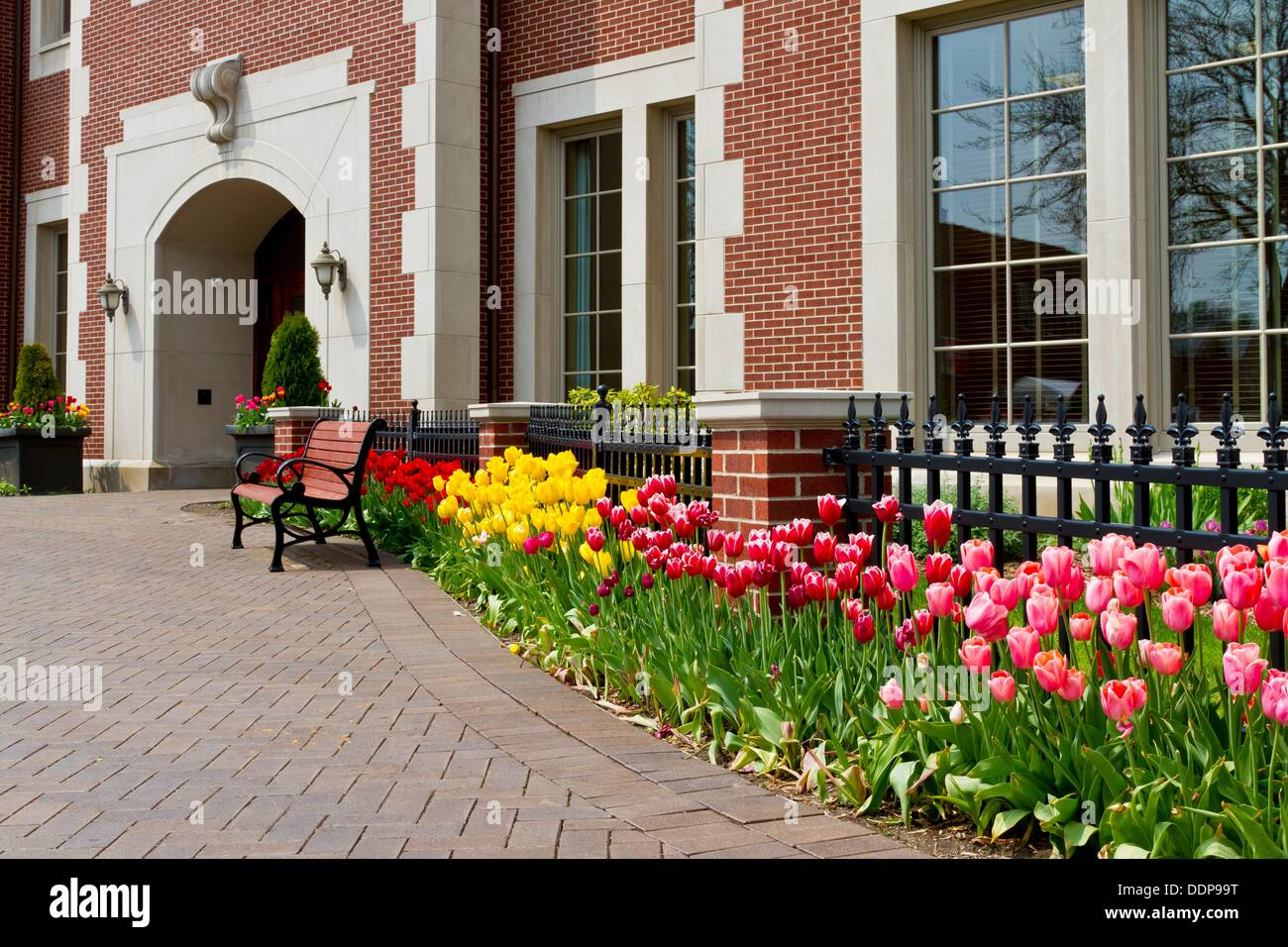 A rwo of tulips with fence in downtown Holland, Michigan, USA - Stock Image
